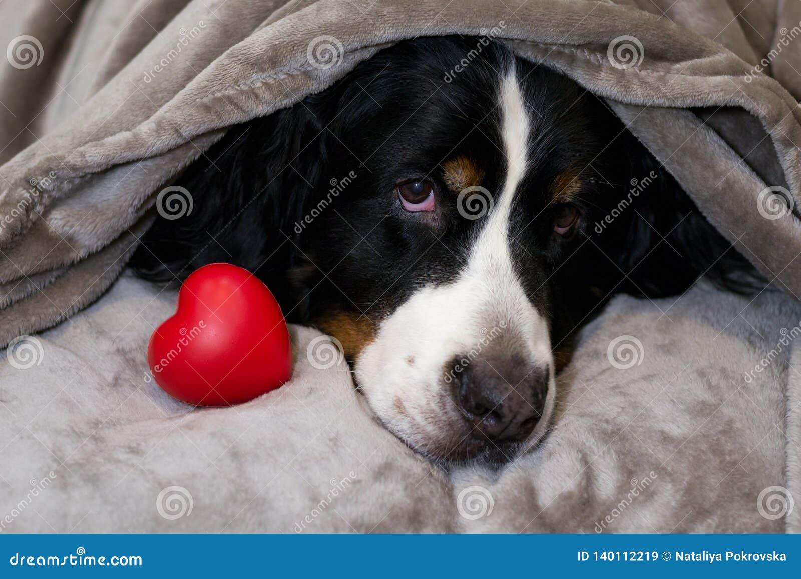 Il bovaro bernese sta trovandosi sul letto con la testa coperta di plaid beige vicino a cuore rosso Concetto di amore, devozione,