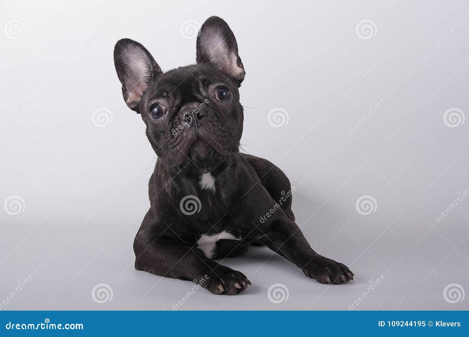 Il Bulldog Francese Del Cucciolo Che Si Trova Sul Fondo Grigio