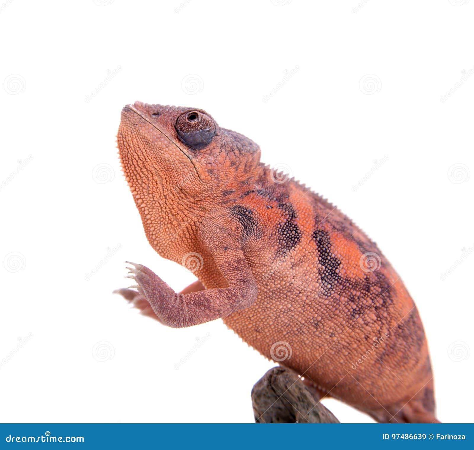 Il camaleonte della pantera, pardalis di Furcifer su bianco
