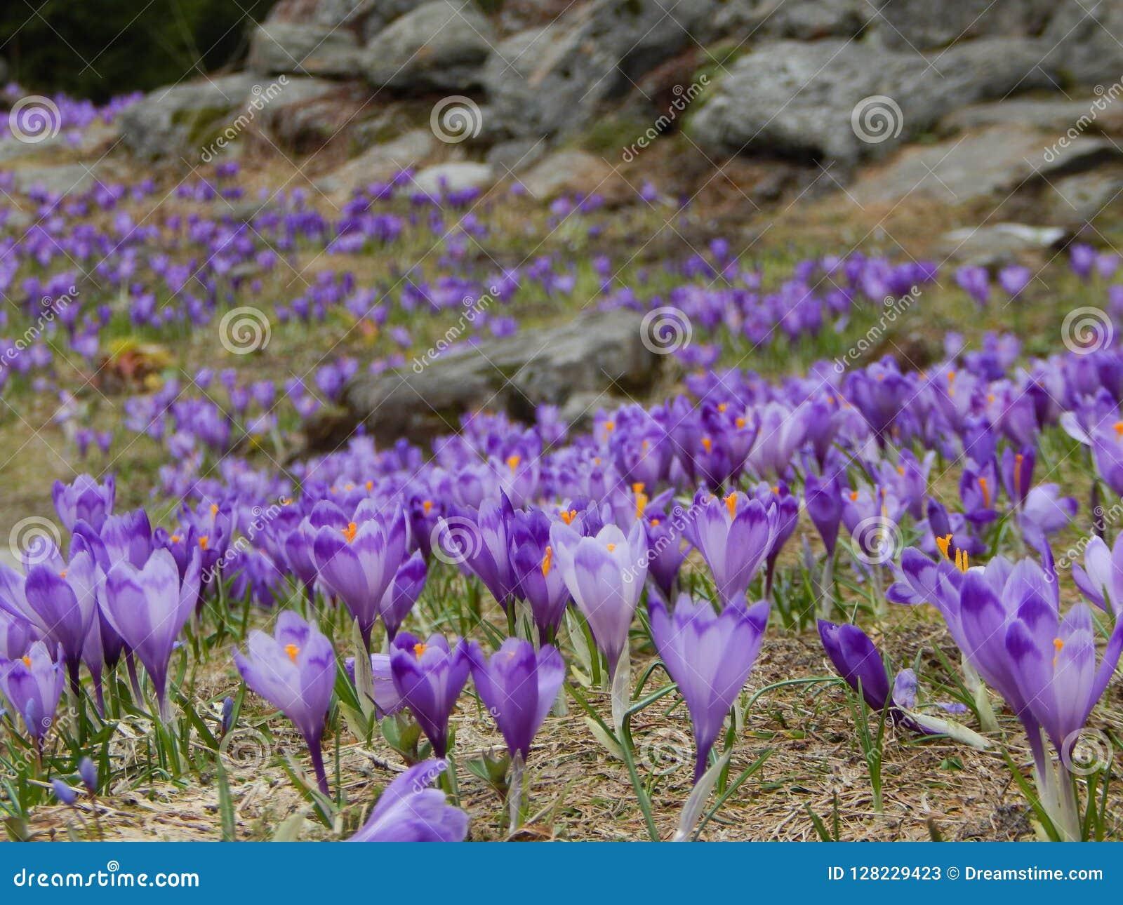 Foto Fiori Viola.Il Campo Della Primavera Fiorisce Il Croco Fiori Viola Immagine