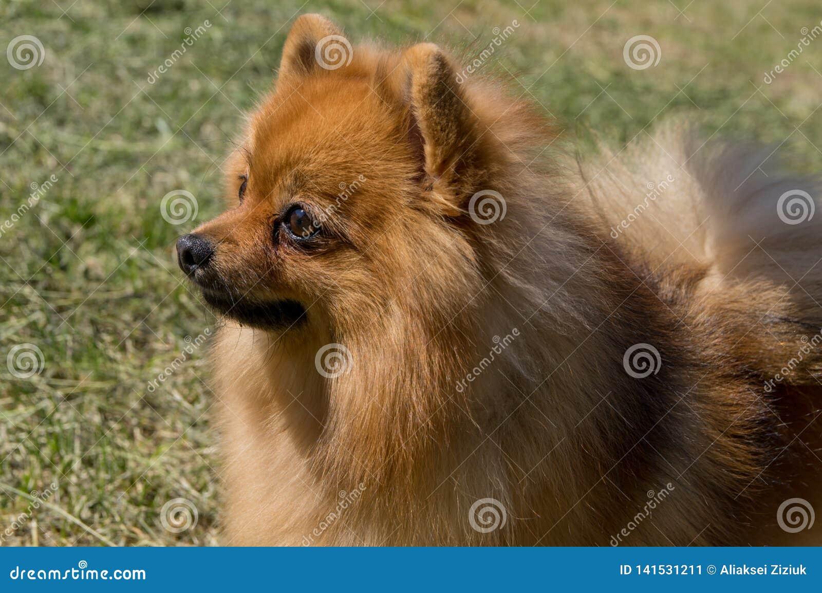 Il cane è giallo, nel profilo Pomeranian pigmeo tedesco