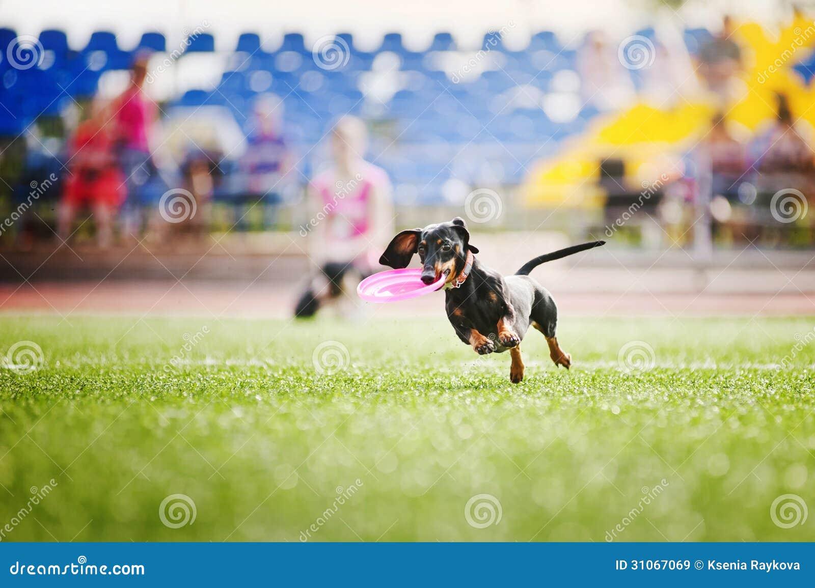 Il cane del bassotto tedesco porta il disco di volo - Porta in tedesco ...