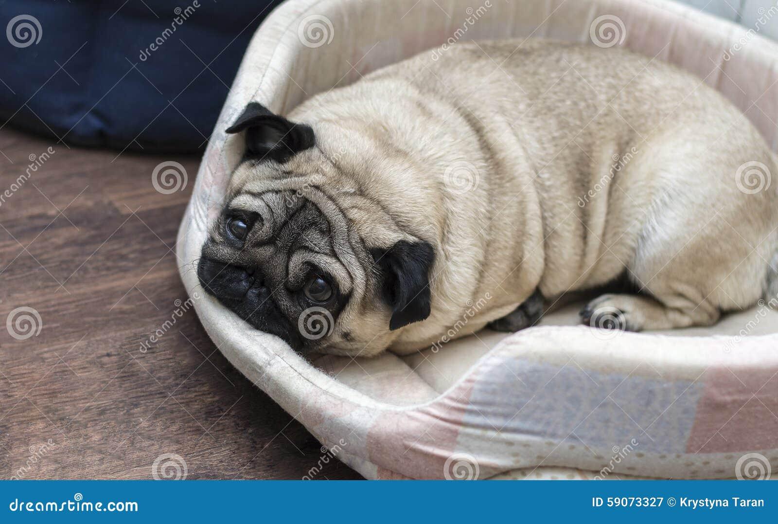 Il Cane Del Carlino Dorme Sulla Sua Coperta Beige Immagine Stock