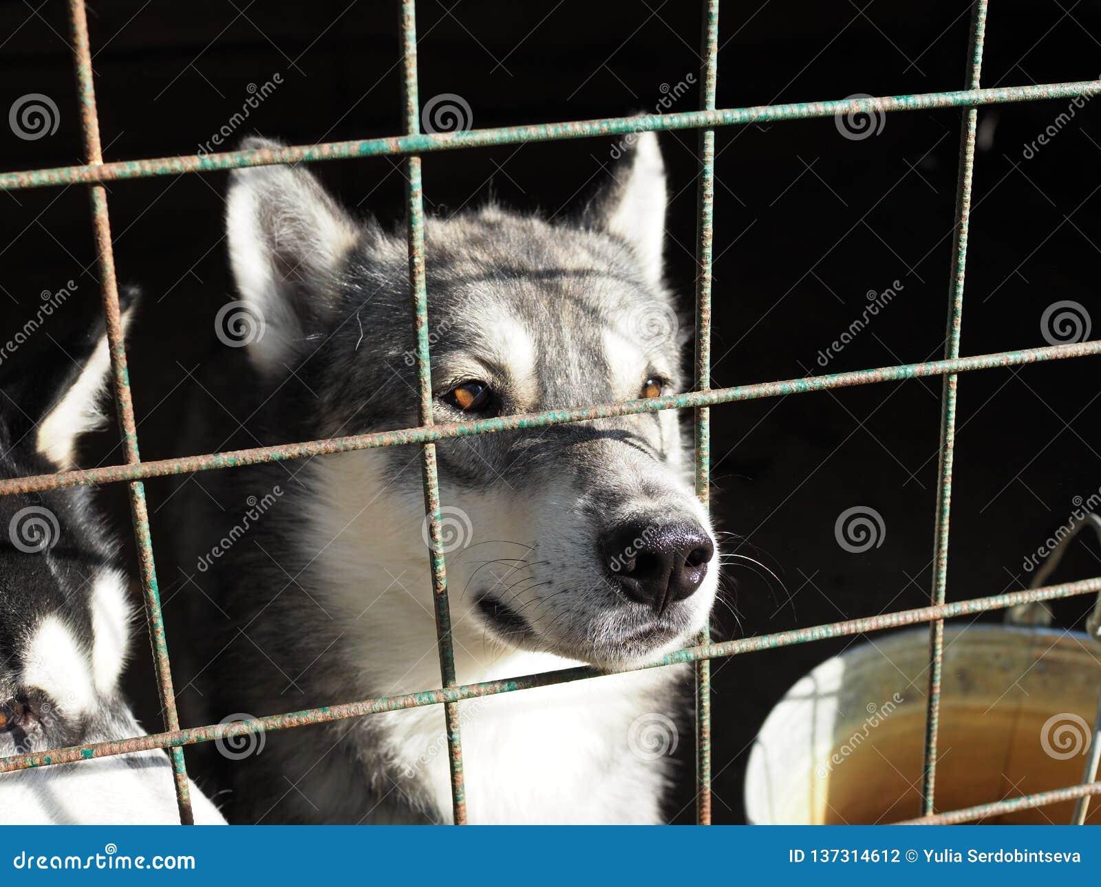 Il cane del husky ha attaccato il suo naso attraverso la gabbia