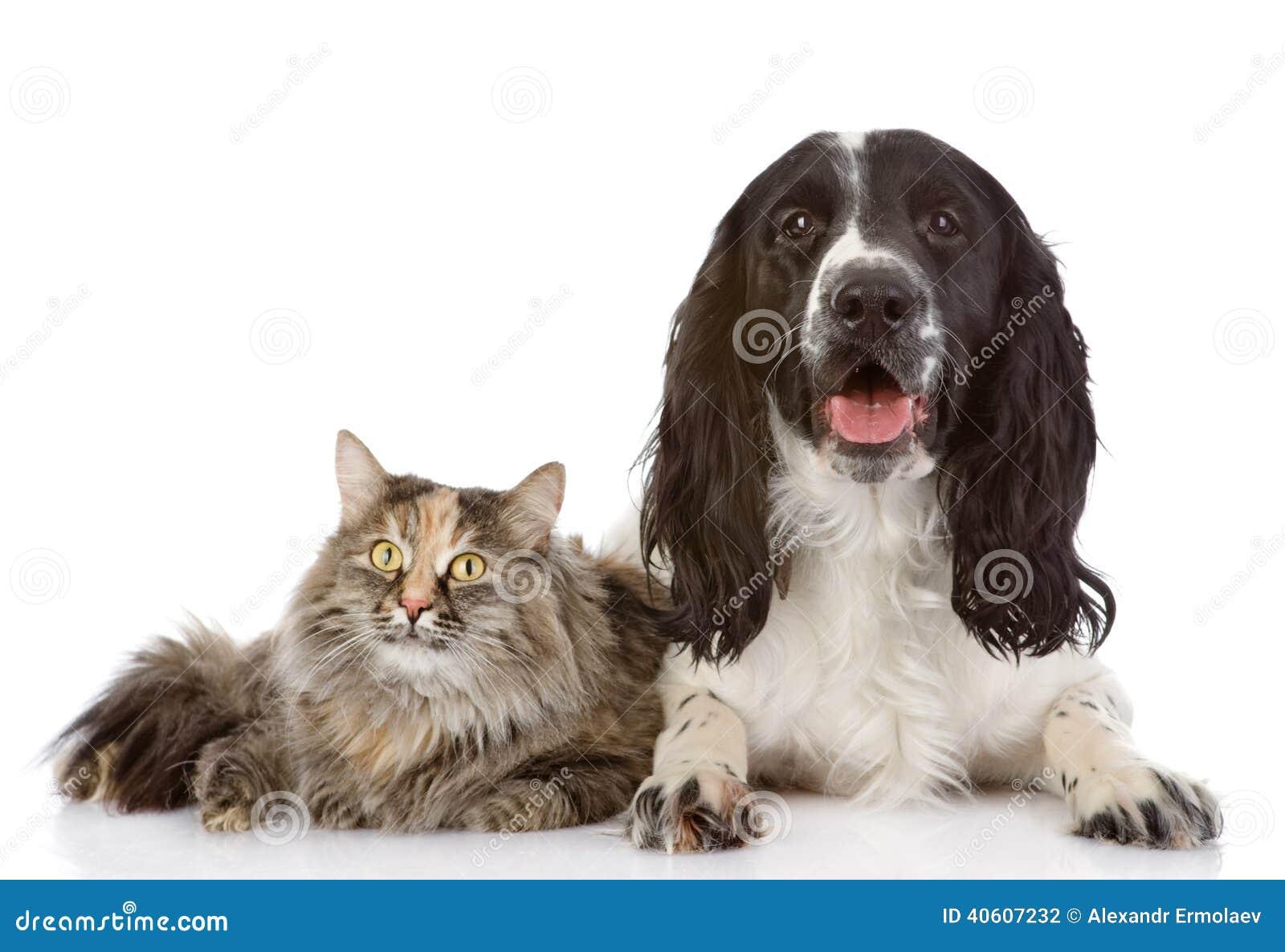 Il cane ed il gatto di cocker spaniel di inglese si trovano insieme