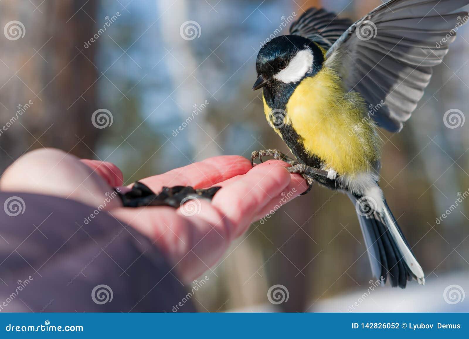 Il capezzolo dell uccello si siede sulla palma di un uomo con i semi, il concetto di preoccuparsi per gli animali in natura nell