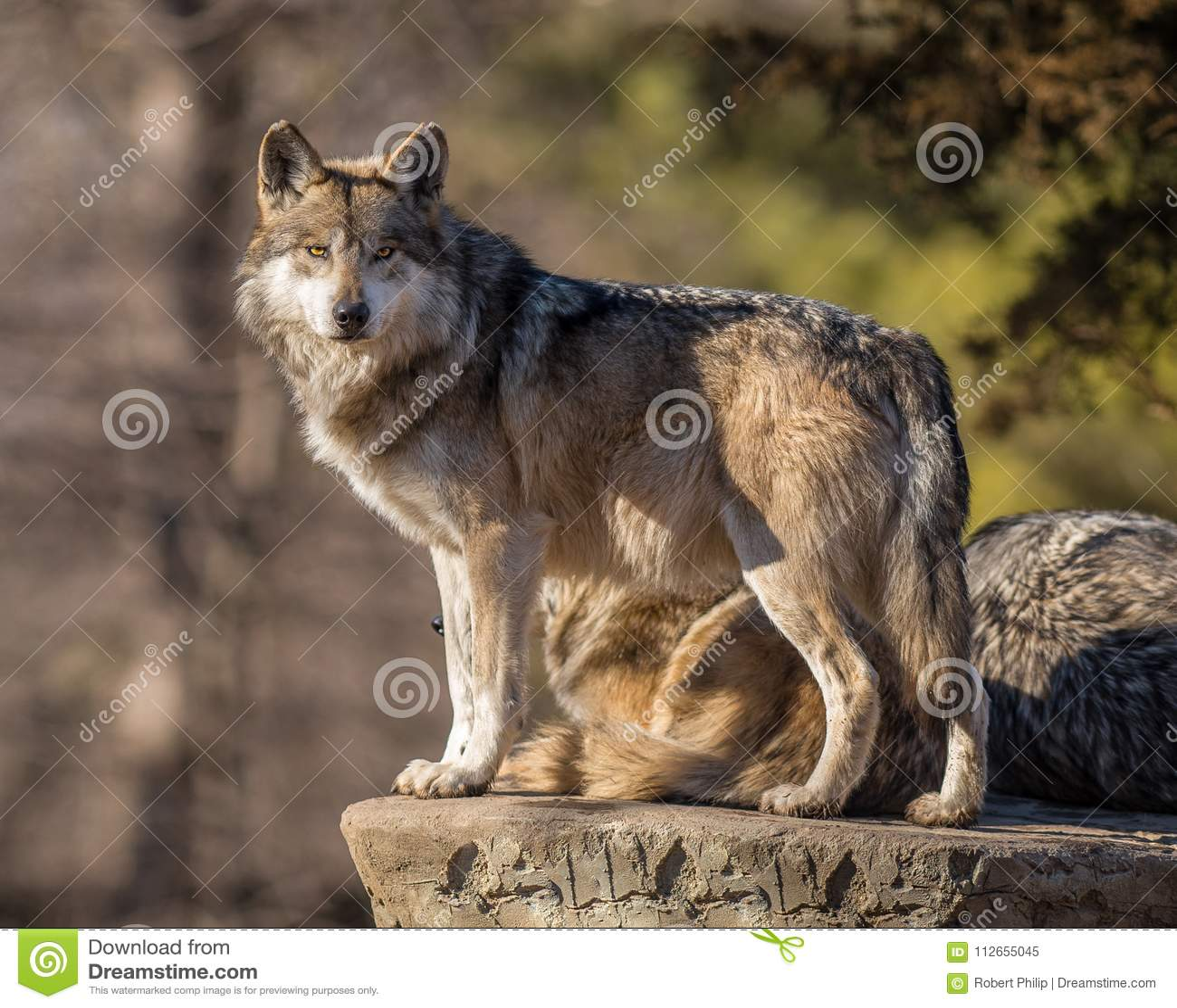 Il capo del pacchetto di lupo esplora l orizzonte allo zoo di Brookfield