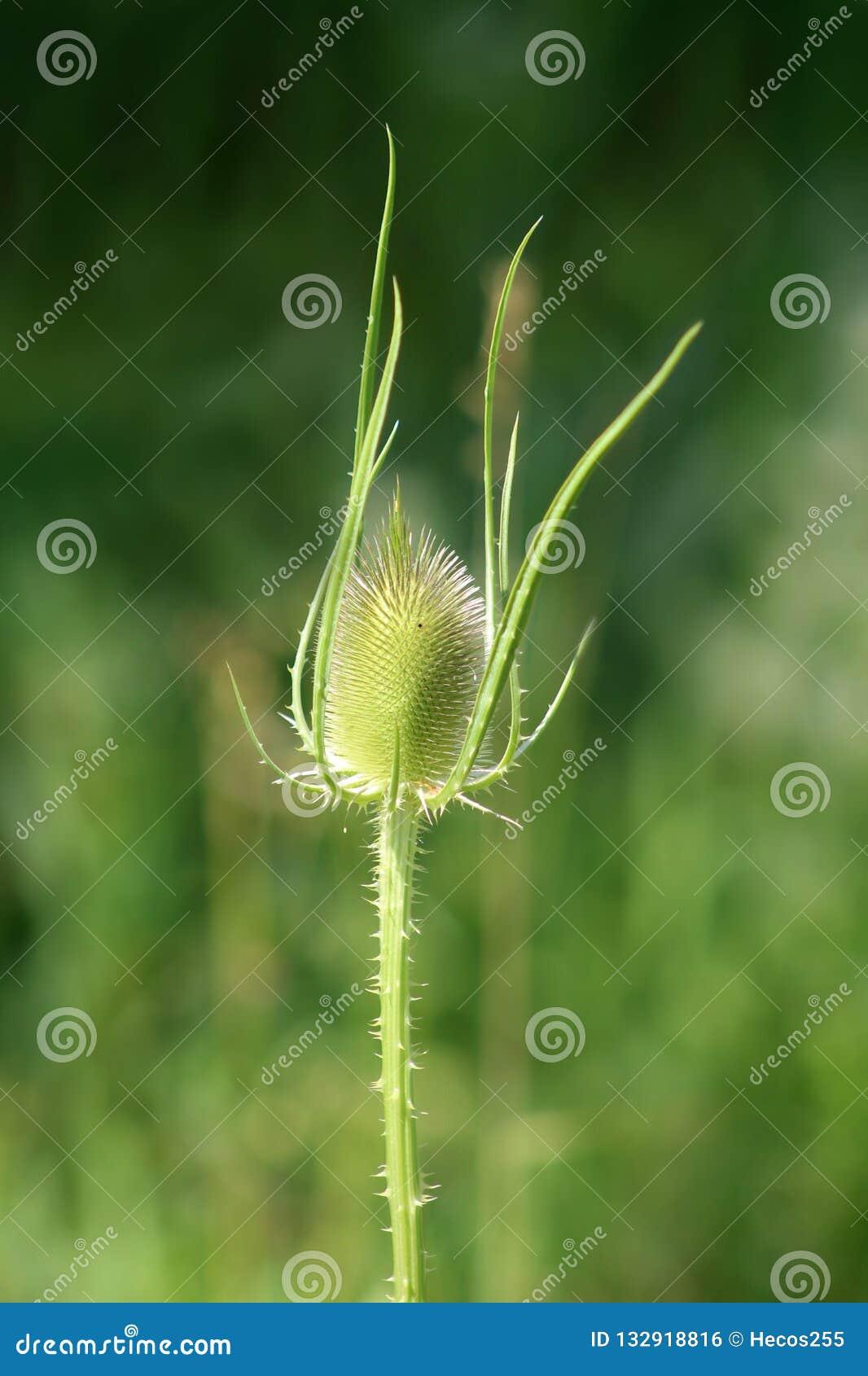 Il cardo selvaggio o il fullonum del Dipsacus completamente verde la pianta con il gambo spinoso ed il capolino ovale eretto sul