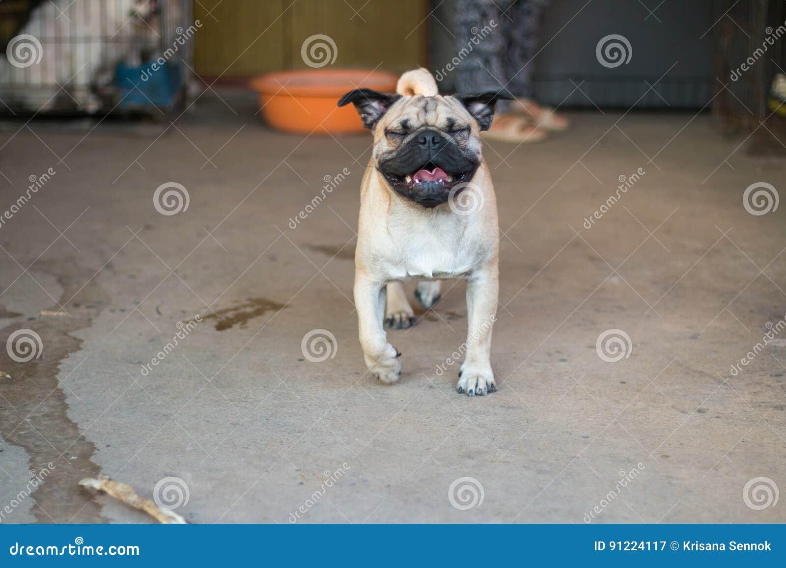 Il carlino del cane era felice