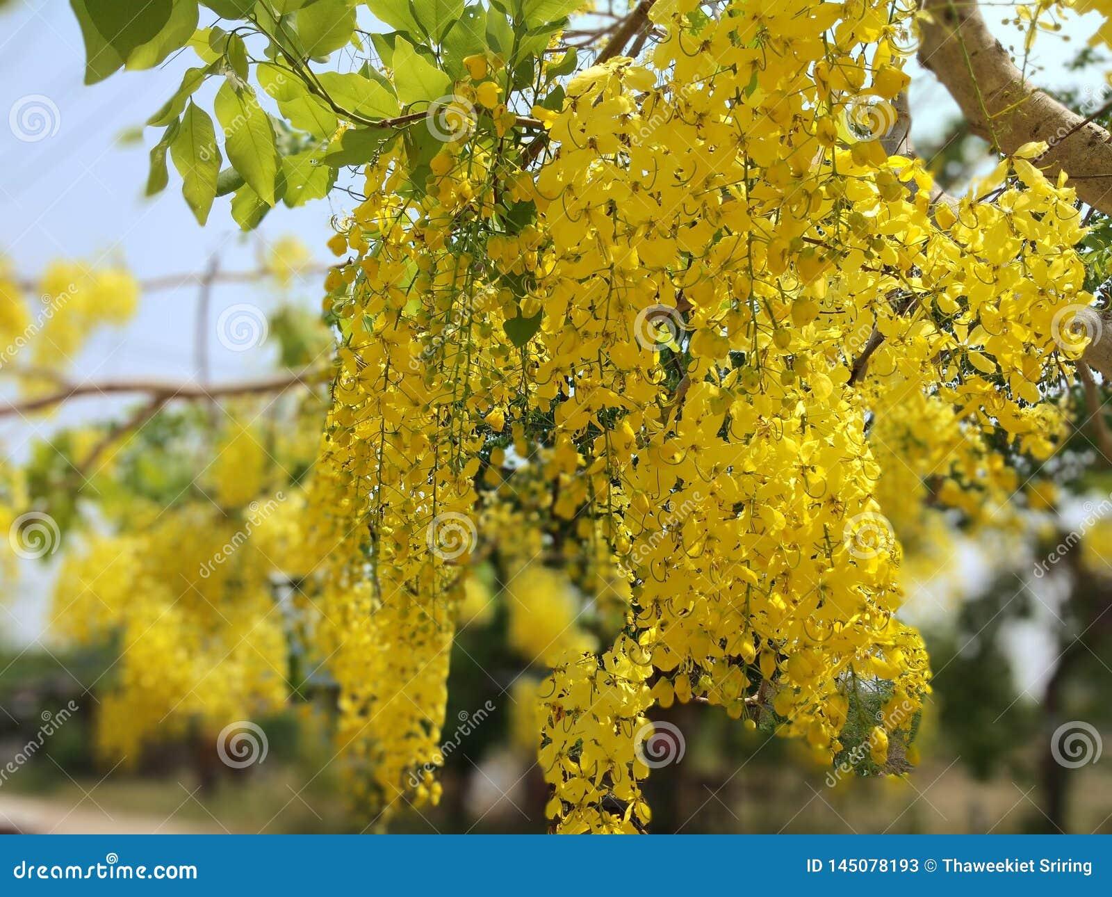 Il cassia fistula, bello giallo, può essere usato come immagine di sfondo