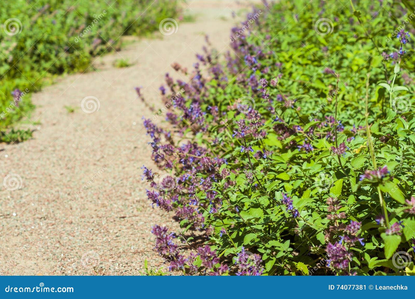 Il Catnip fiorisce (nepeta) nel giardino rustico del paese