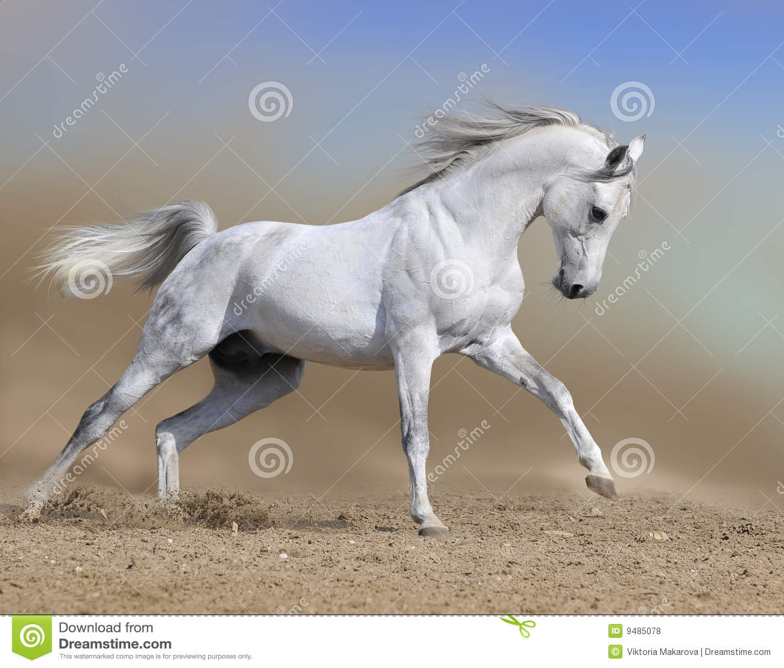 Il cavallo di galoppo della polvere del deserto arabo esegue il bianco