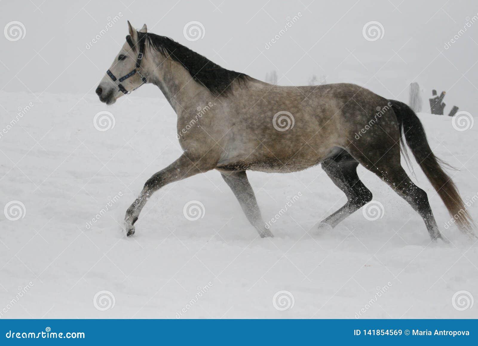 Il cavallo funziona ad un trotto nell inverno su un pendio nevoso
