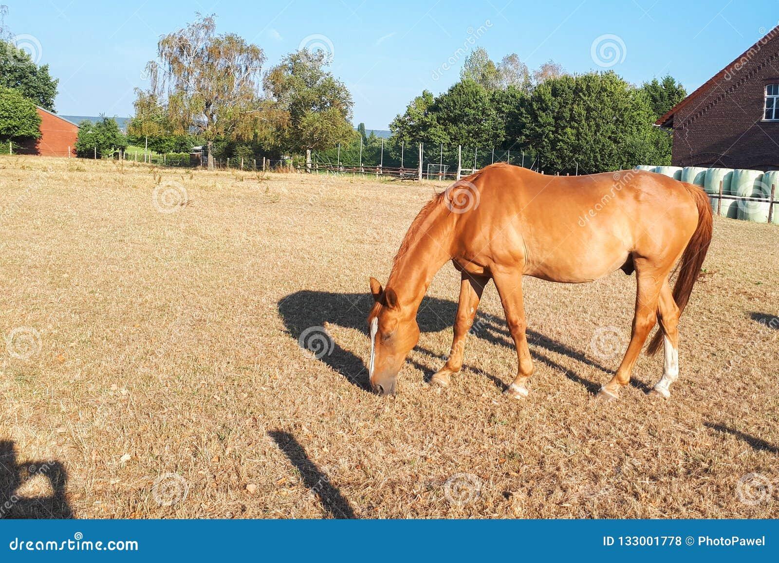 Il cavallo marrone chiaro pasce in un prato su un azienda agricola