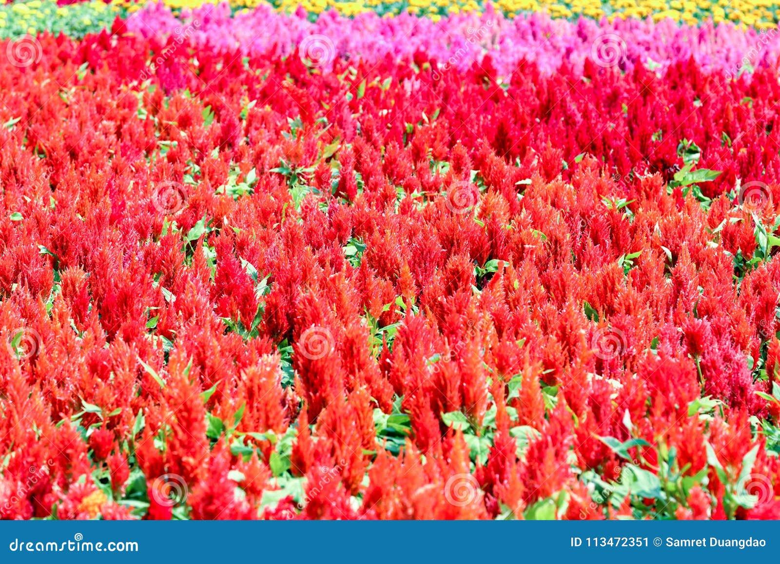 Il Celosia Plumosa è bello fiore per fondo usato