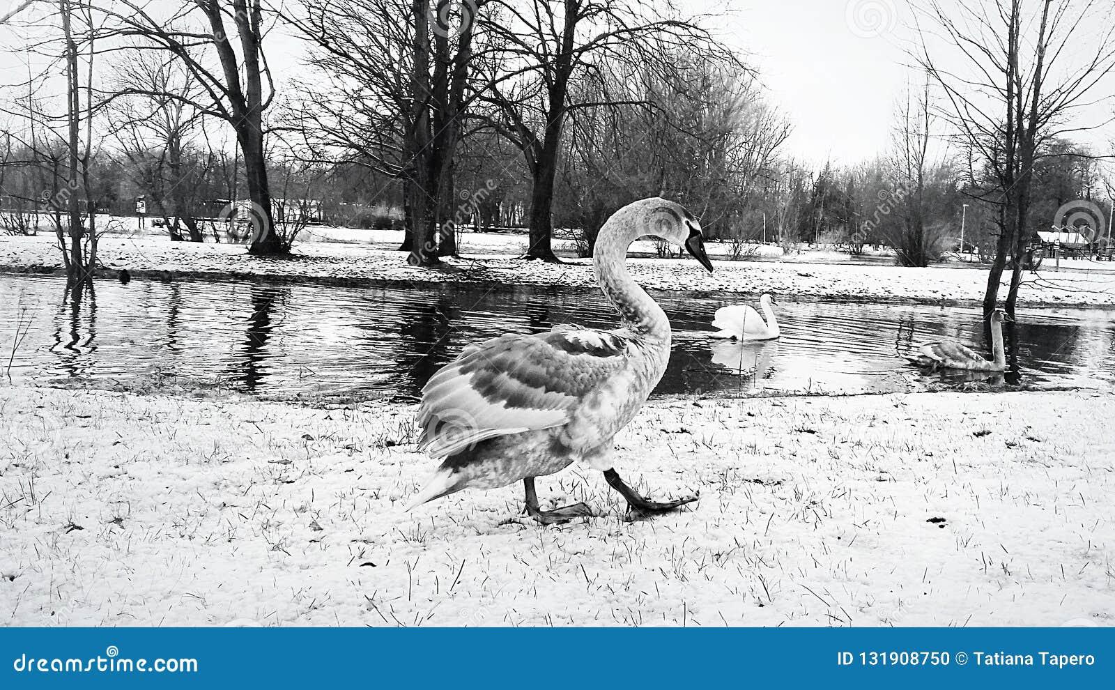 Il cigno serio cammina lungo la sponda del fiume nella neve