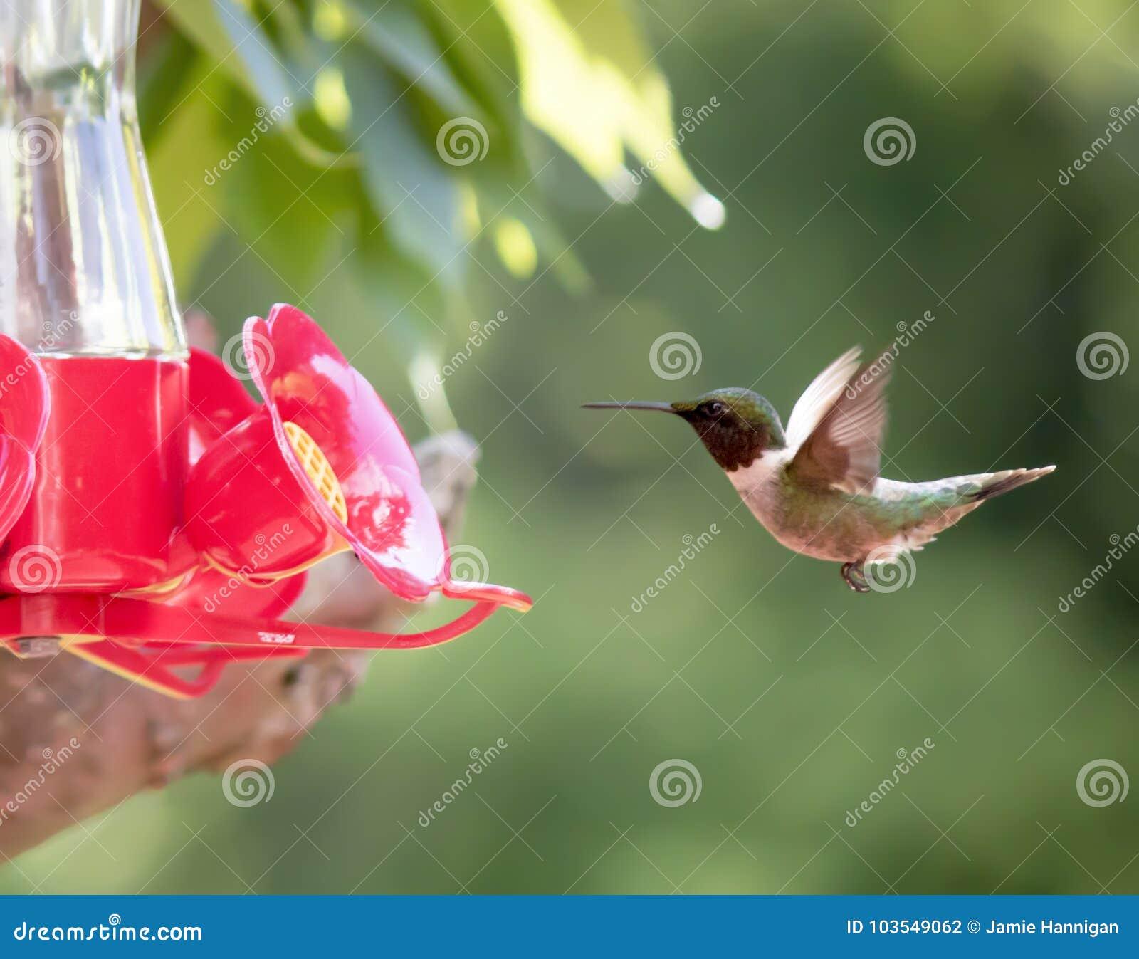 Il colibrì Rubino-Throated si avvicina all alimentatore
