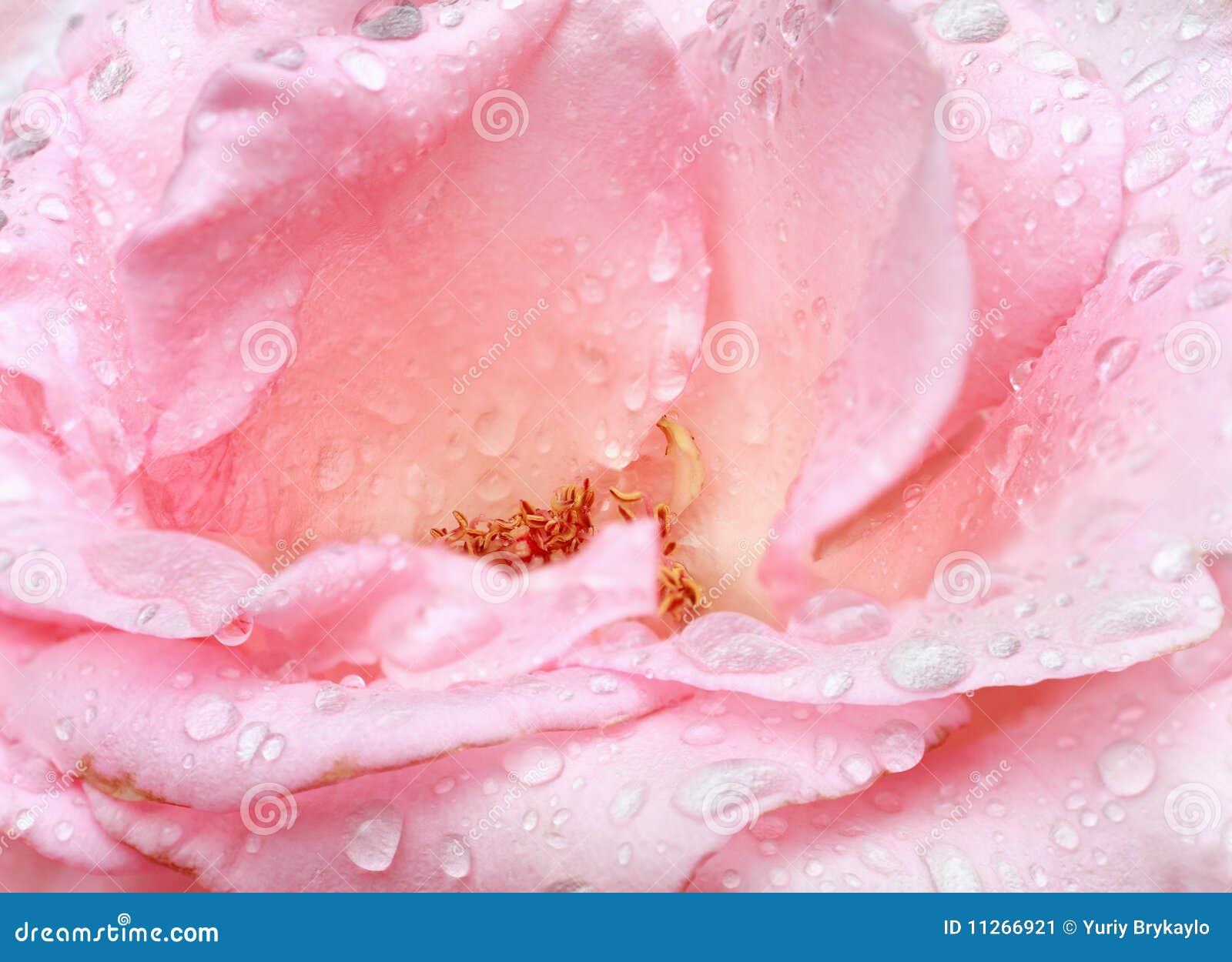 Il Colore Rosa è Aumentato Con Rugiada Primo Piano Sfondo Naturale