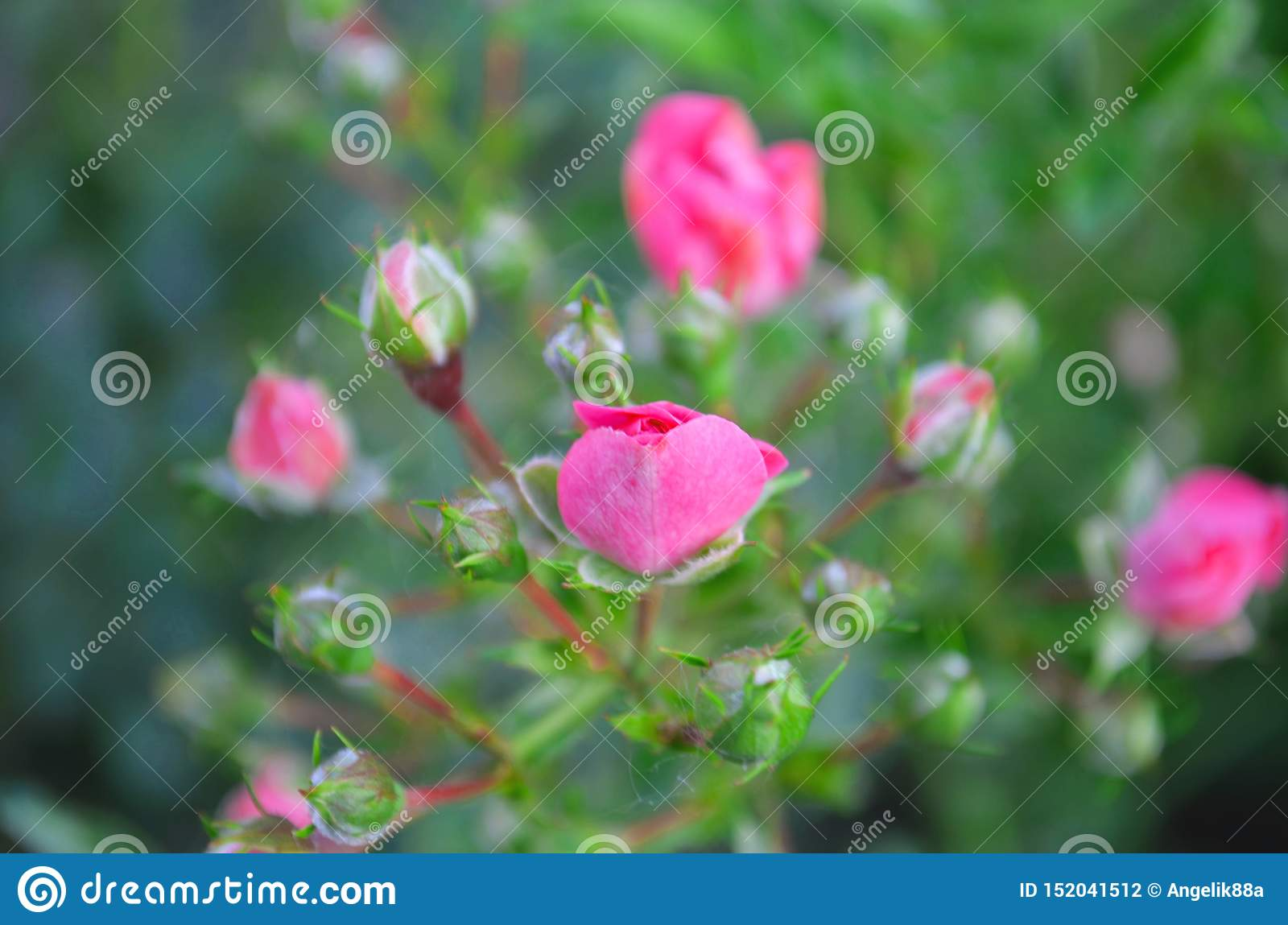 Il colore rosa ? aumentato Natura, estate