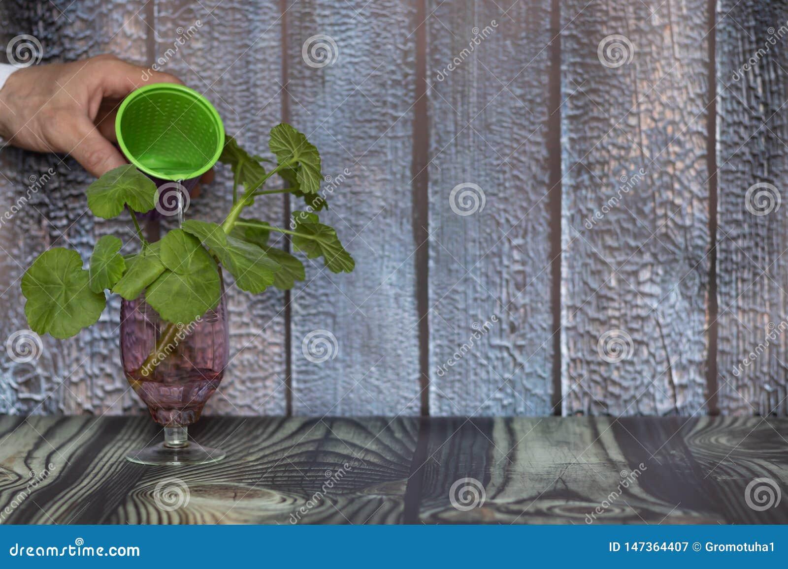 Il concetto di preoccuparsi per l ambiente e la conservazione dell ambiente Mano che innaffia una pianta verde dopo il trapianto