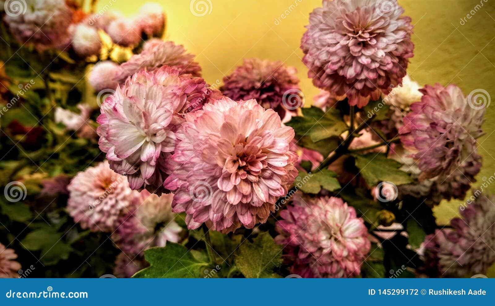 Il convertito della margherita bianca nel fiore rosa della margherita