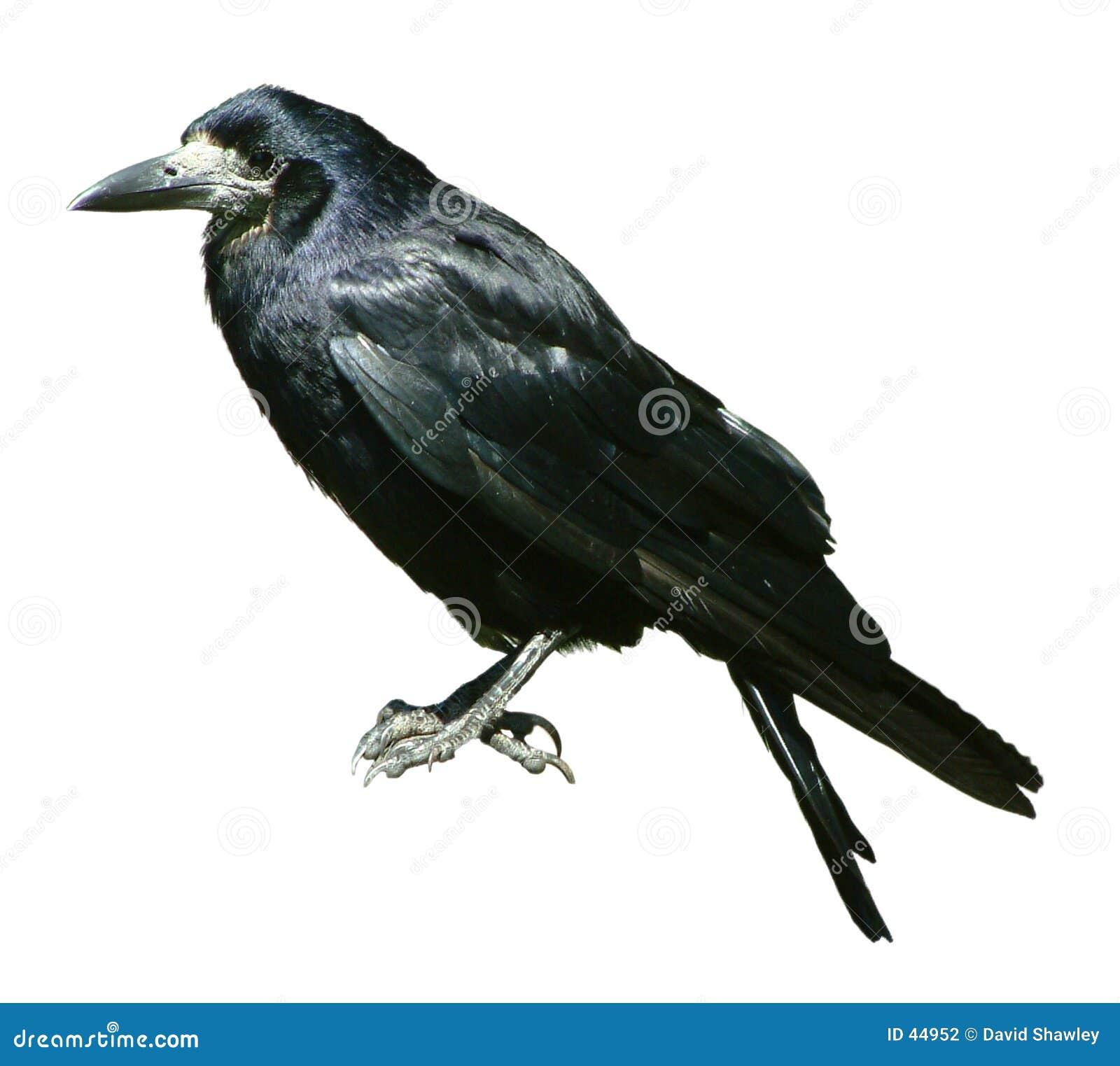 Il corvo ha isolato