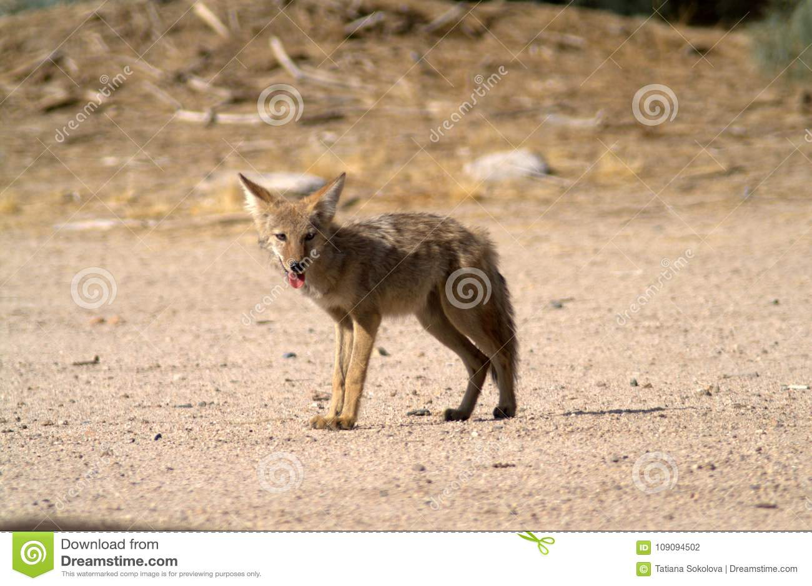 Il coyote sta sulla sabbia nel deserto del Mojave
