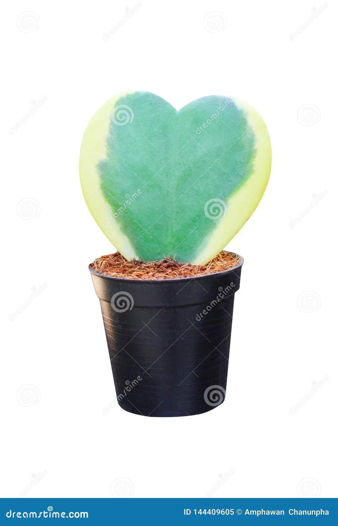 Il craib variopinto di kerrii di Hoya dei fiori o l innamorato verde Hoya con il confine giallo nel cuore ha modellato i modelli