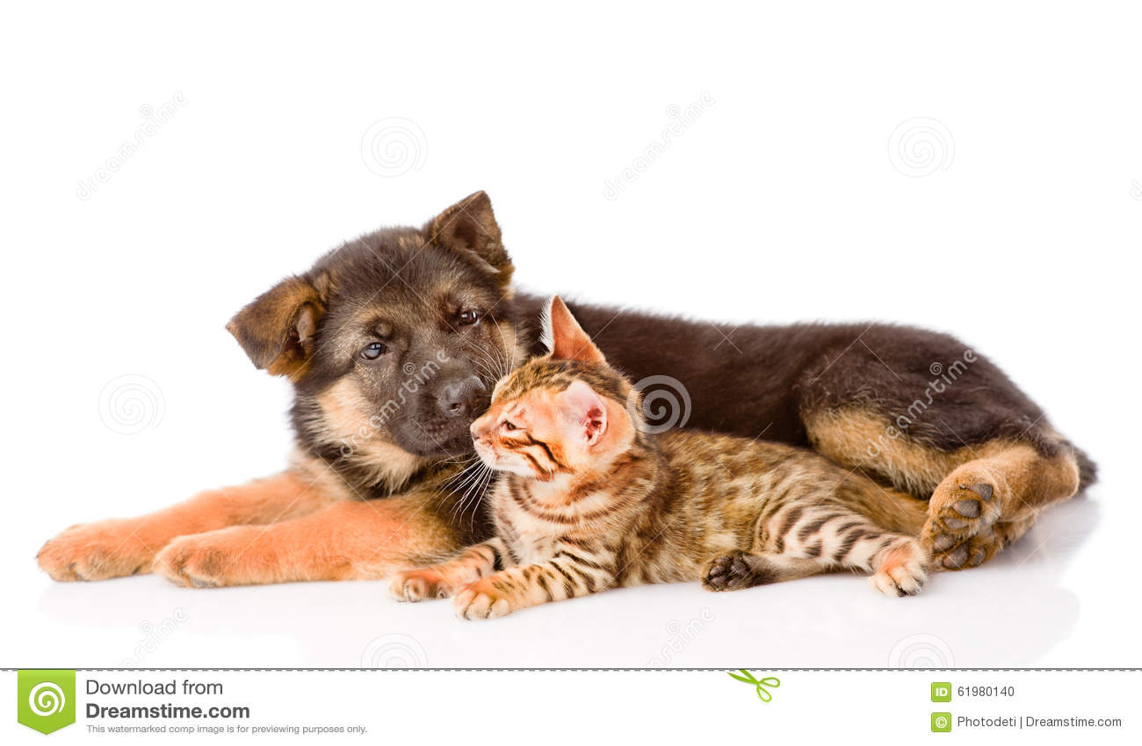 Il Cucciolo Di Cane Del Pastore Tedesco Fiuta Il Gatto Del Bengala
