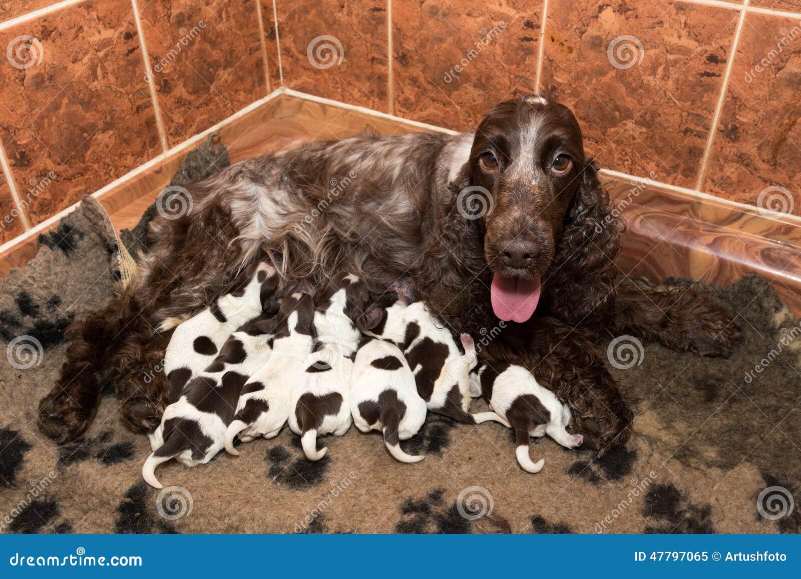 Il Cucciolo Di Cocker Spaniel Di Inglese Succhia Il Latte Materno