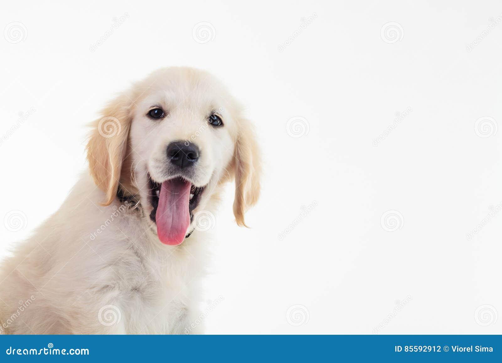Il cucciolo dorato ansimare labrador retriever con la bocca si apre