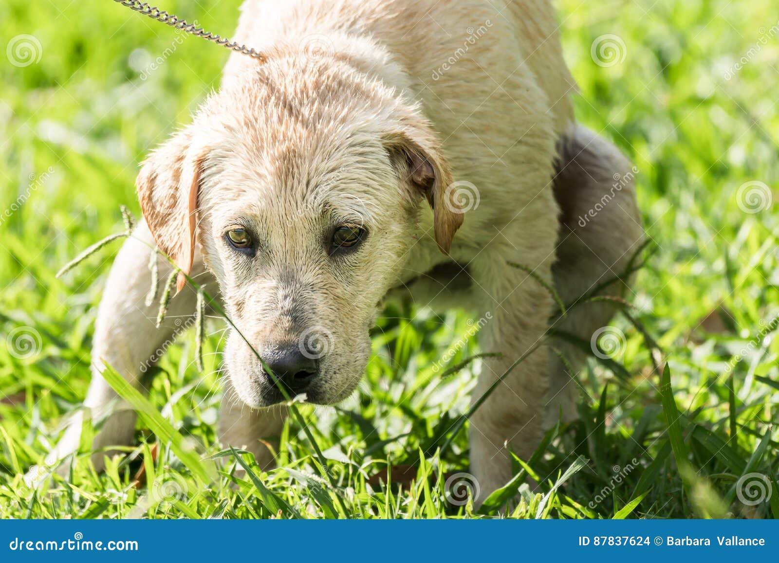 Il Cucciolo Fa La Cacca Fotografia Stock Immagine Di Gioco 87837624