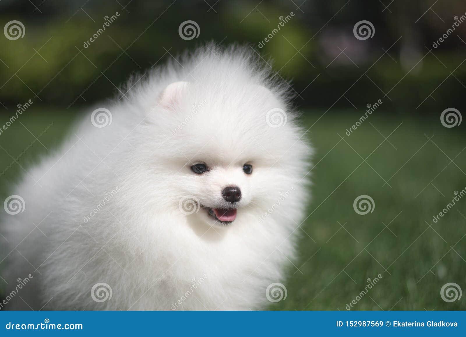 Il cucciolo tedesco dello spitz del piccolo bello cane bianco divertente sui funzionamenti dell erba verde gioca e si siede