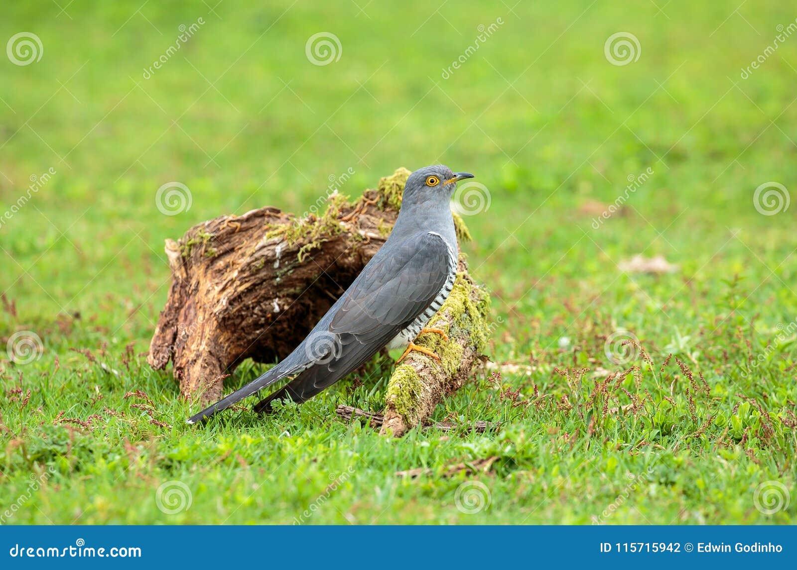 Il cuculo comune sul foraggiamento al suolo