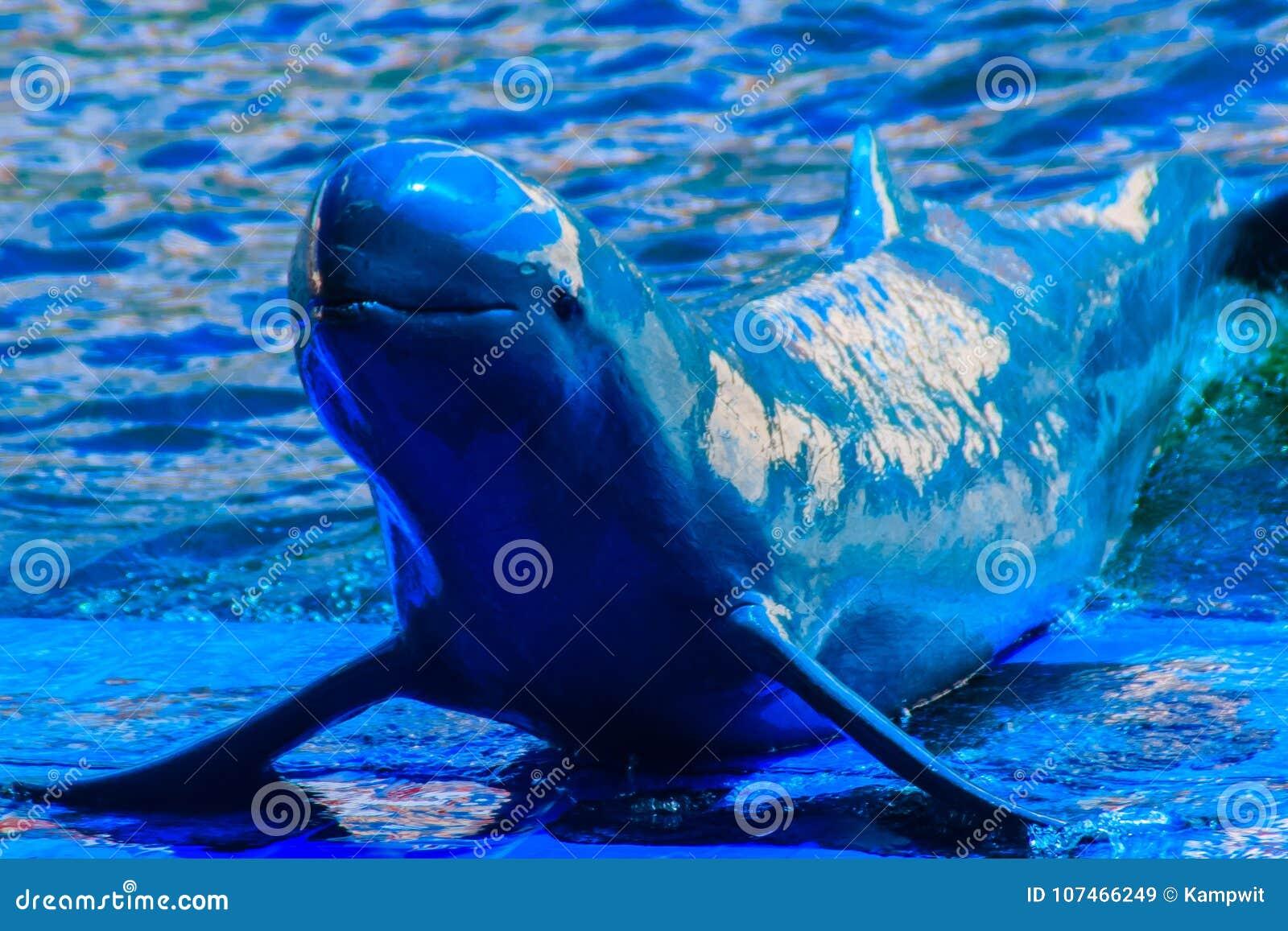Il delfino sveglio di Irrawaddy (orcaella brevirostris) sta galleggiando in Th
