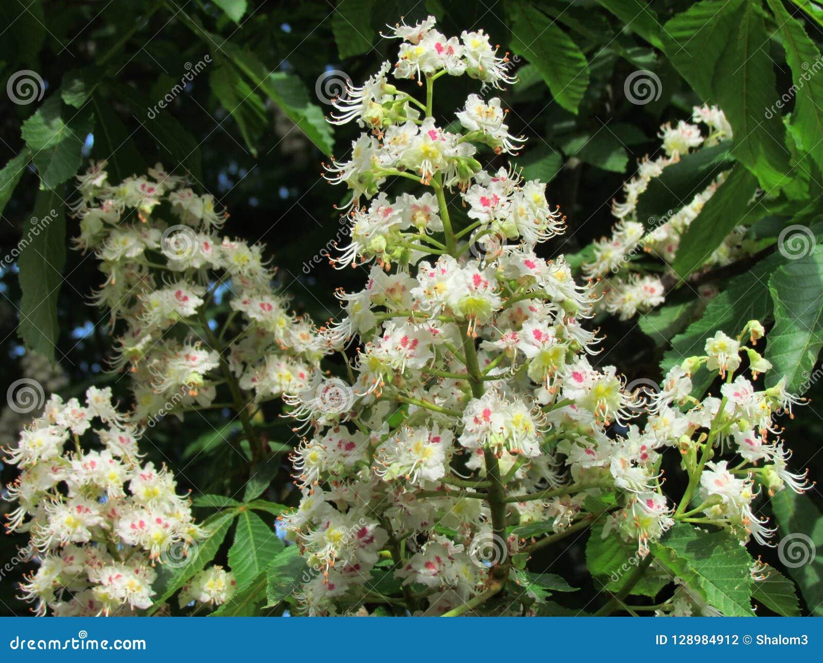 Il dettaglio del fiore di aesculus hippocastanum, fiore del conker dentro può, albero che fiorisce in primavera