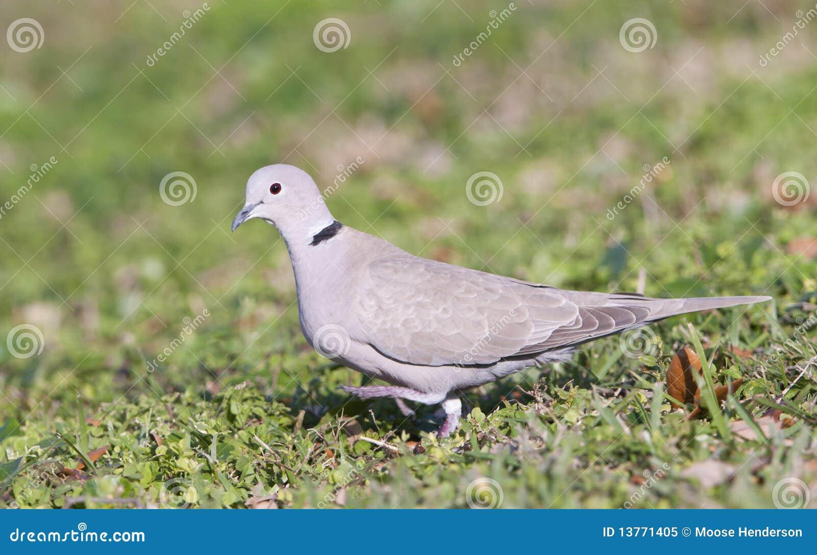 Il Eurasian ha messo un colletto la colomba