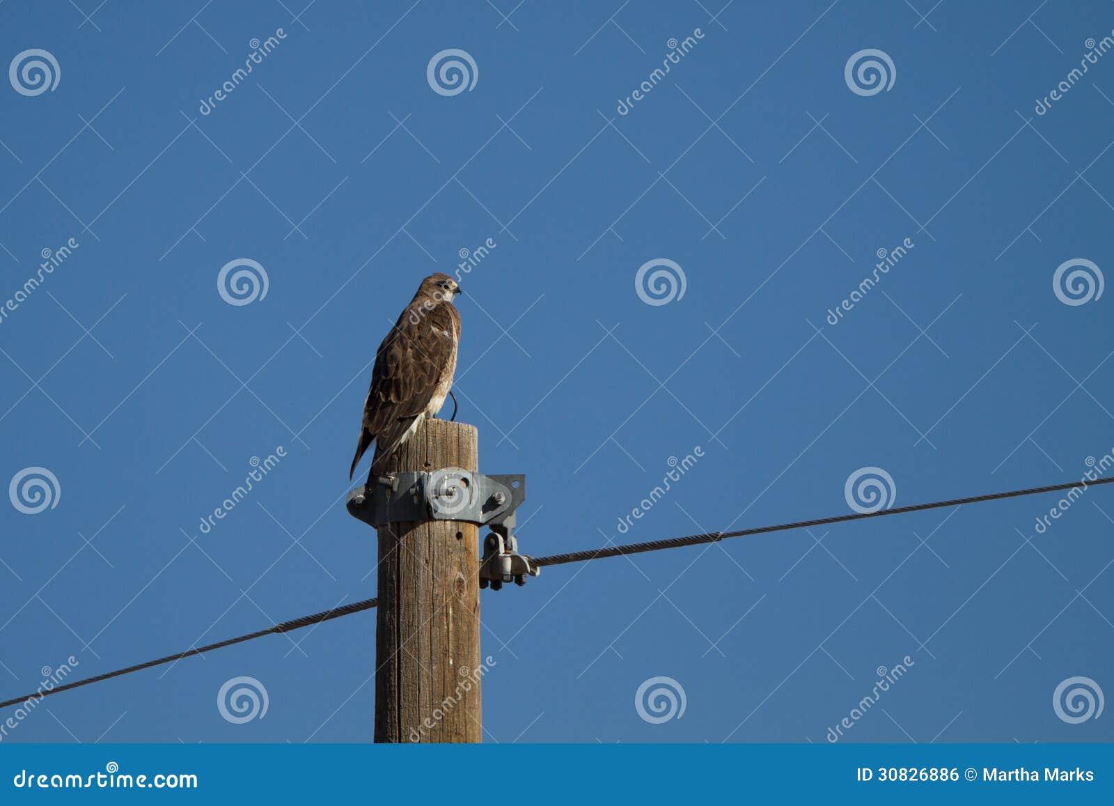 Il falco di Swainson, swainsoni del Buteo
