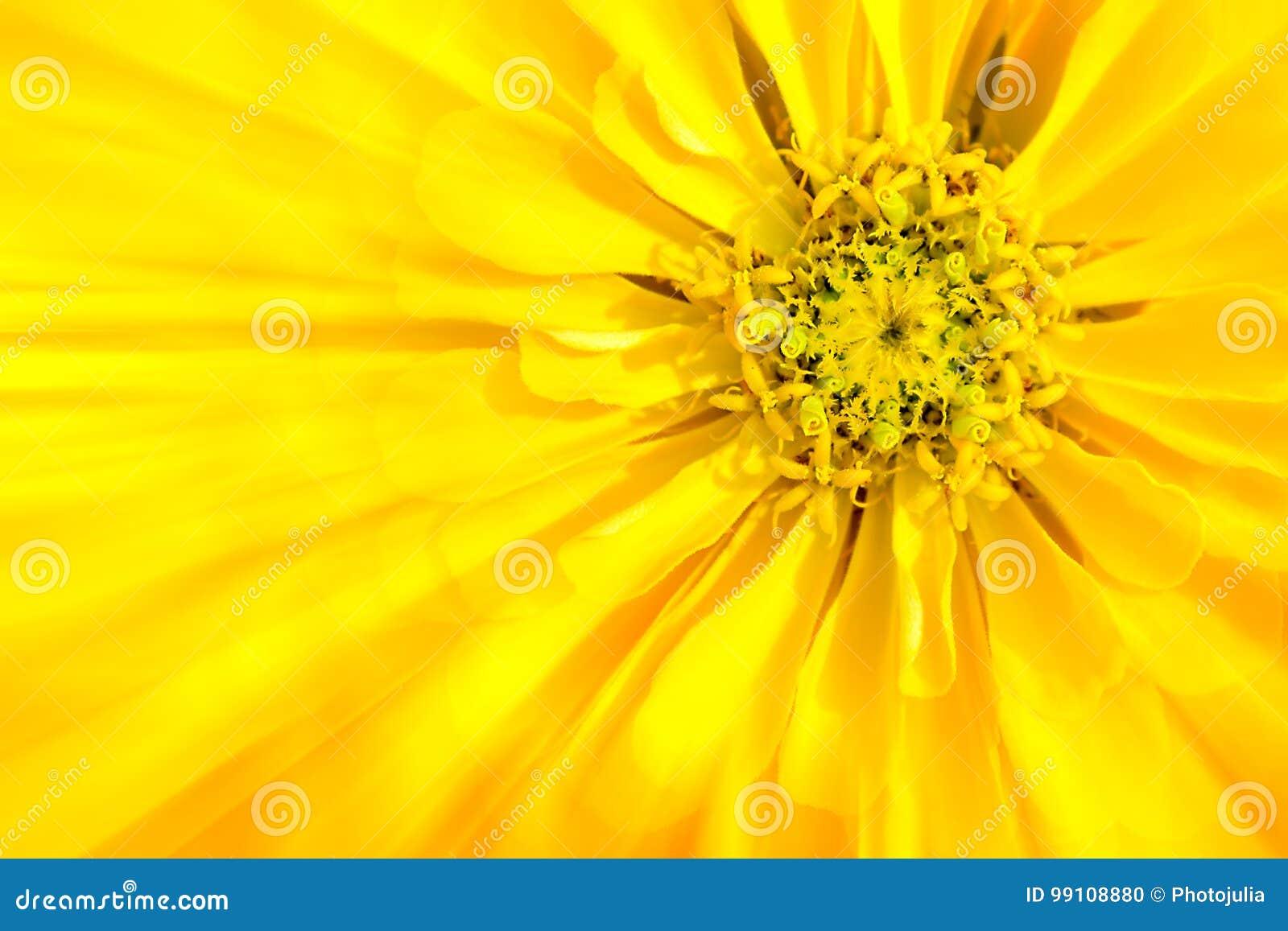Il fiore è zinnia gialla
