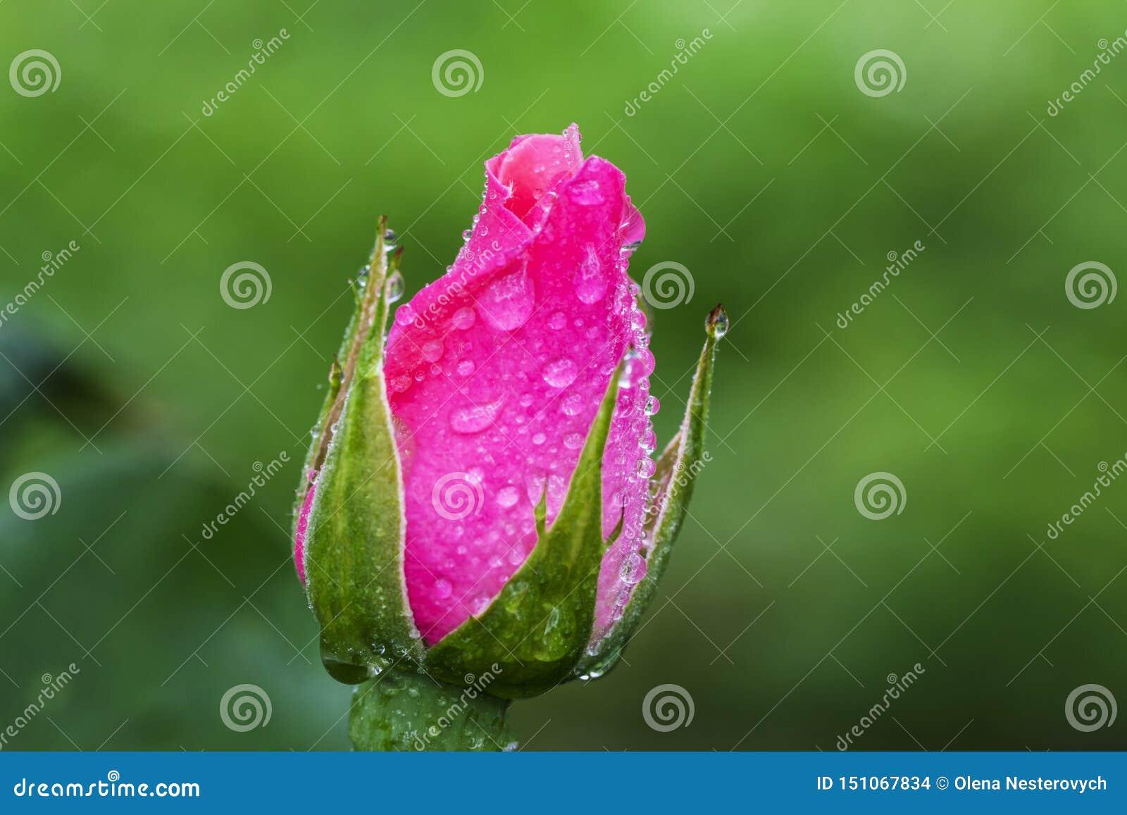 Il fiore d annata è aumentato con le gocce dell acqua, si chiude sul dettaglio