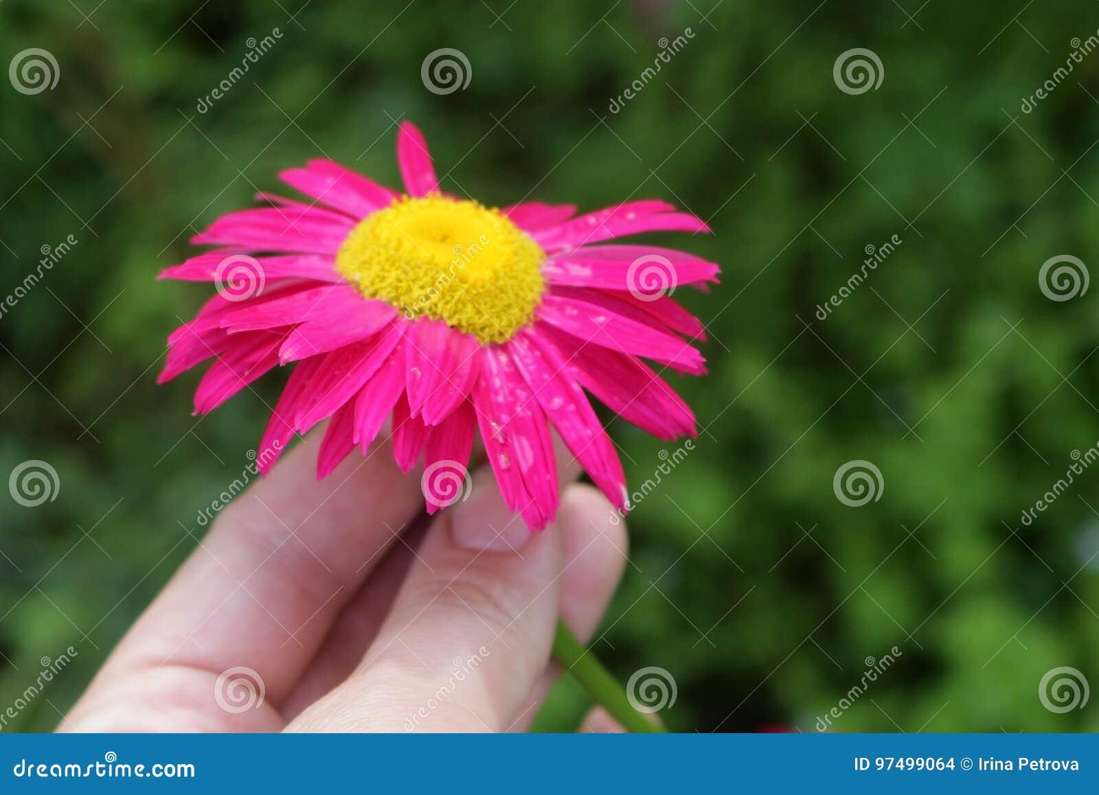 Il fiore dell echinacea nelle mani