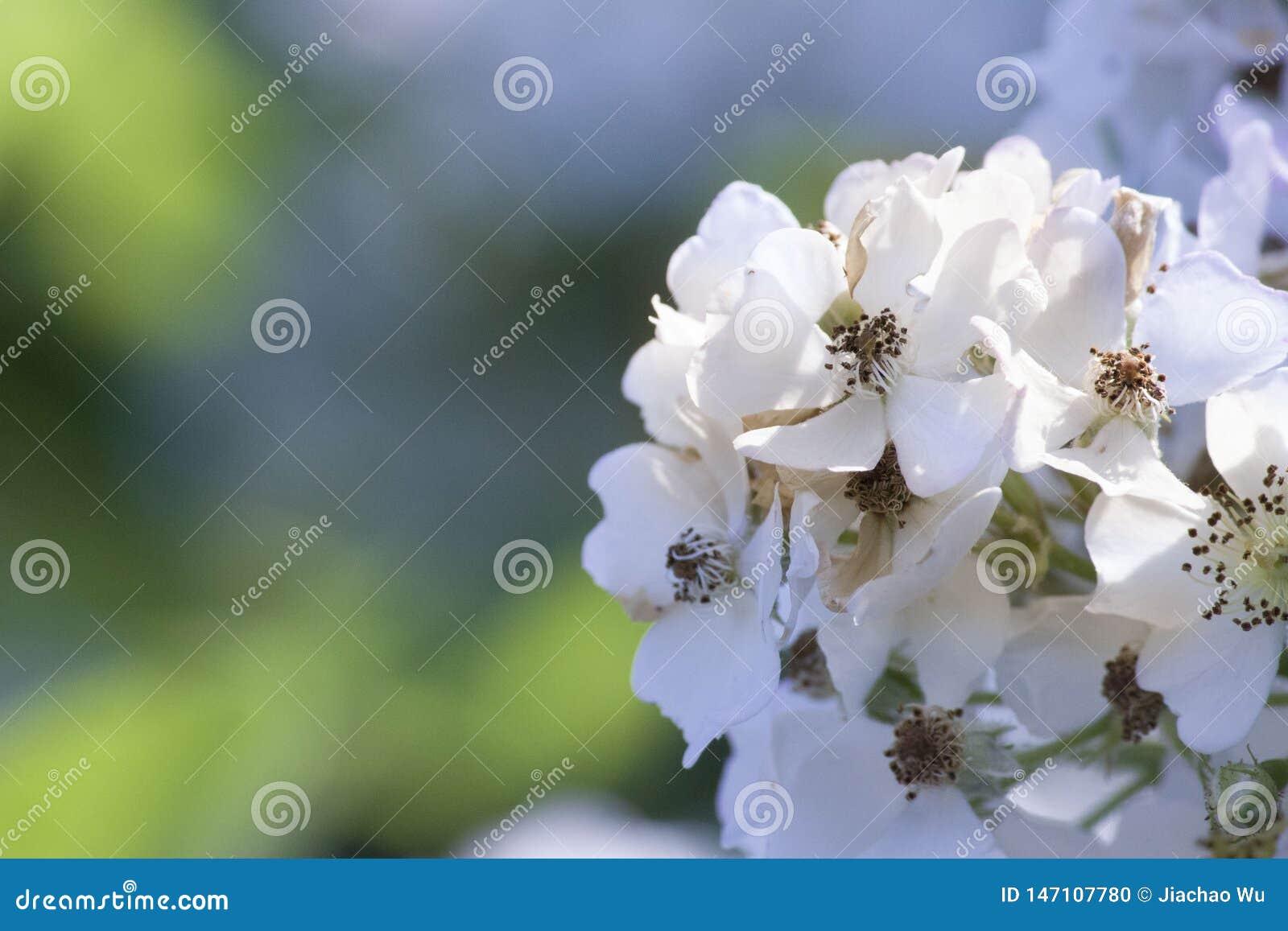 Il fiore della pianta dell ortensia romantica del fiore bianco