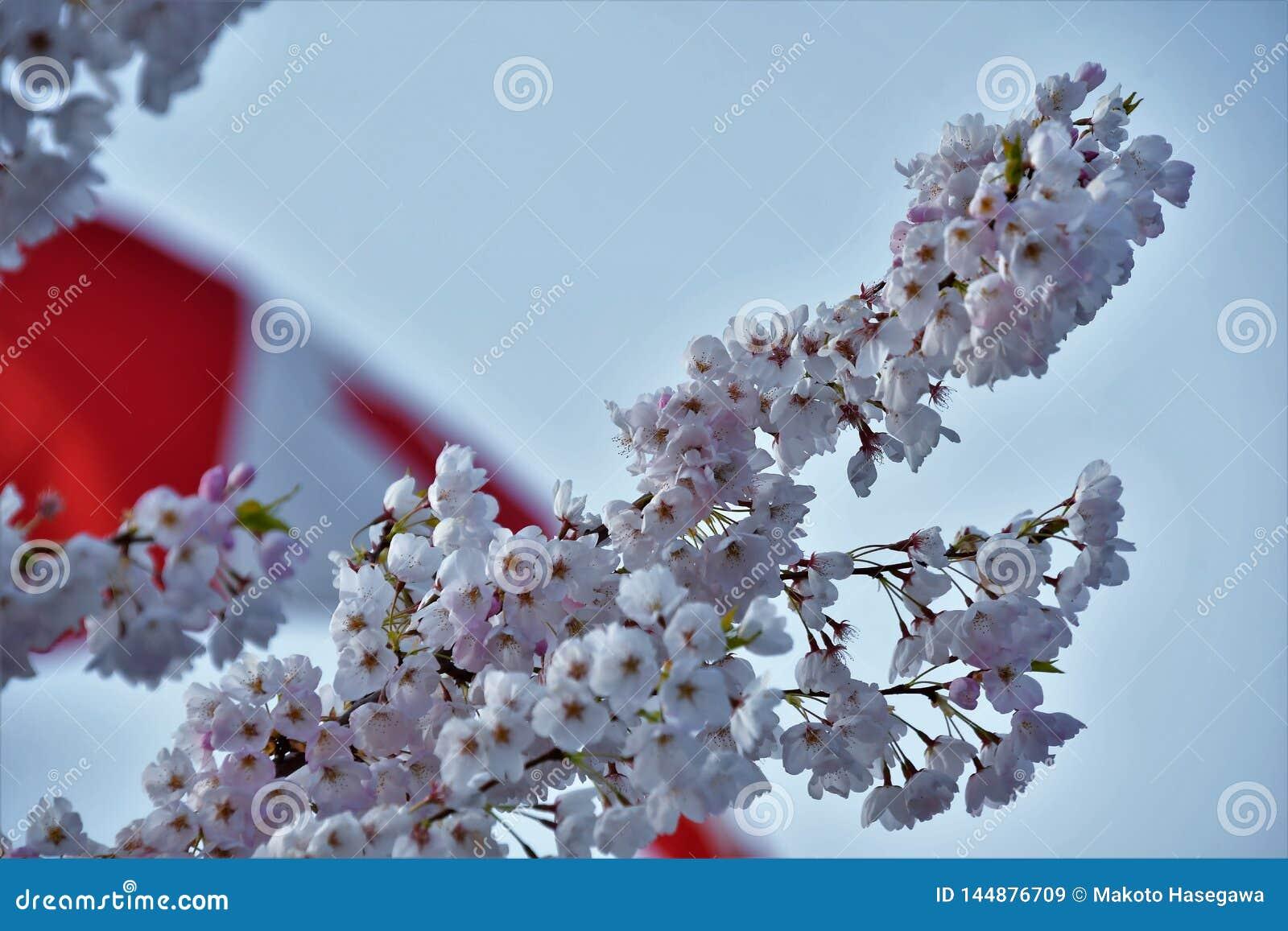 Il fiore di ciliegia contro la bandiera del Canada
