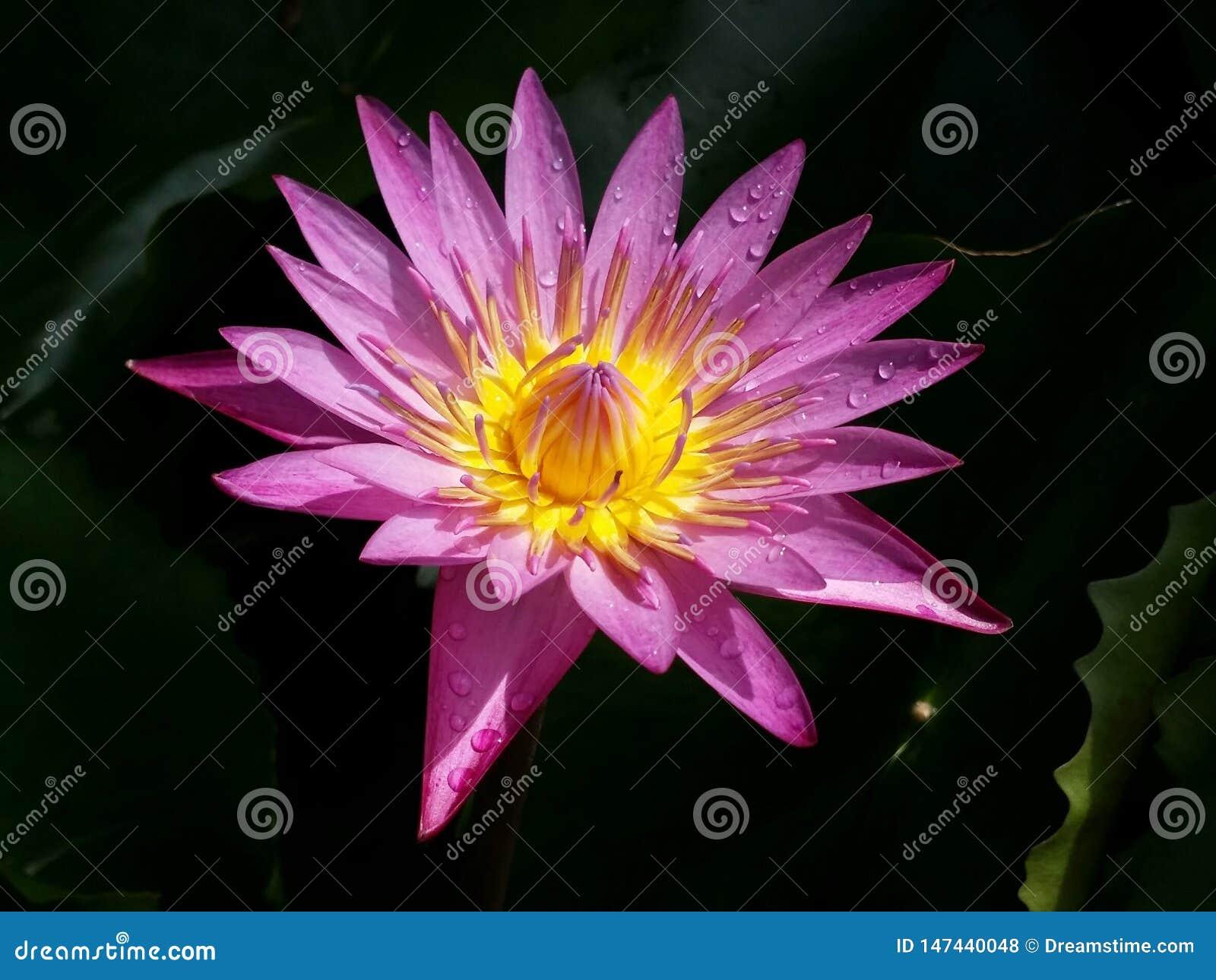 Il fiore di loto porpora ? piena fioritura, molto bella