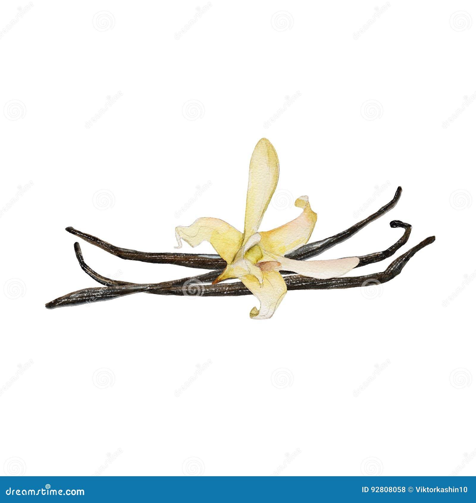Il fiore ed i fagioli della vaniglia del primo piano isolati su fondo bianco, illustrazione dell acquerello