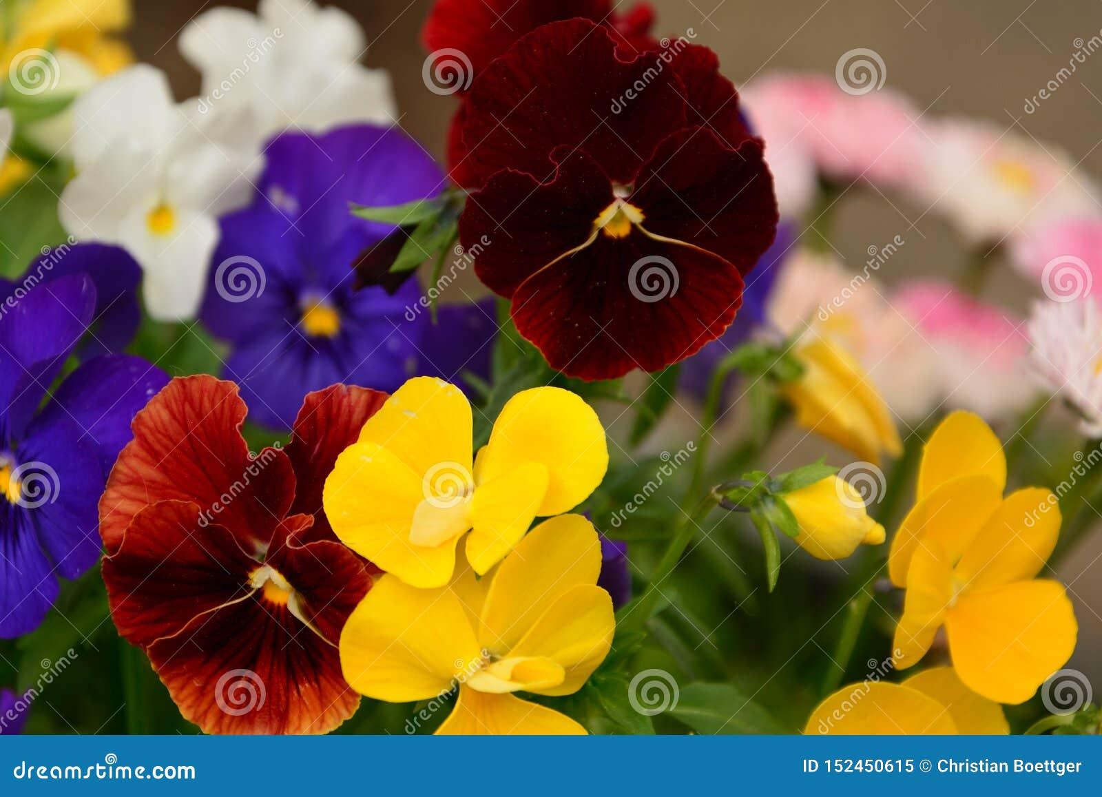 Il fiore variopinto bianco blu giallo rosso nel giardino ha spleso al sole