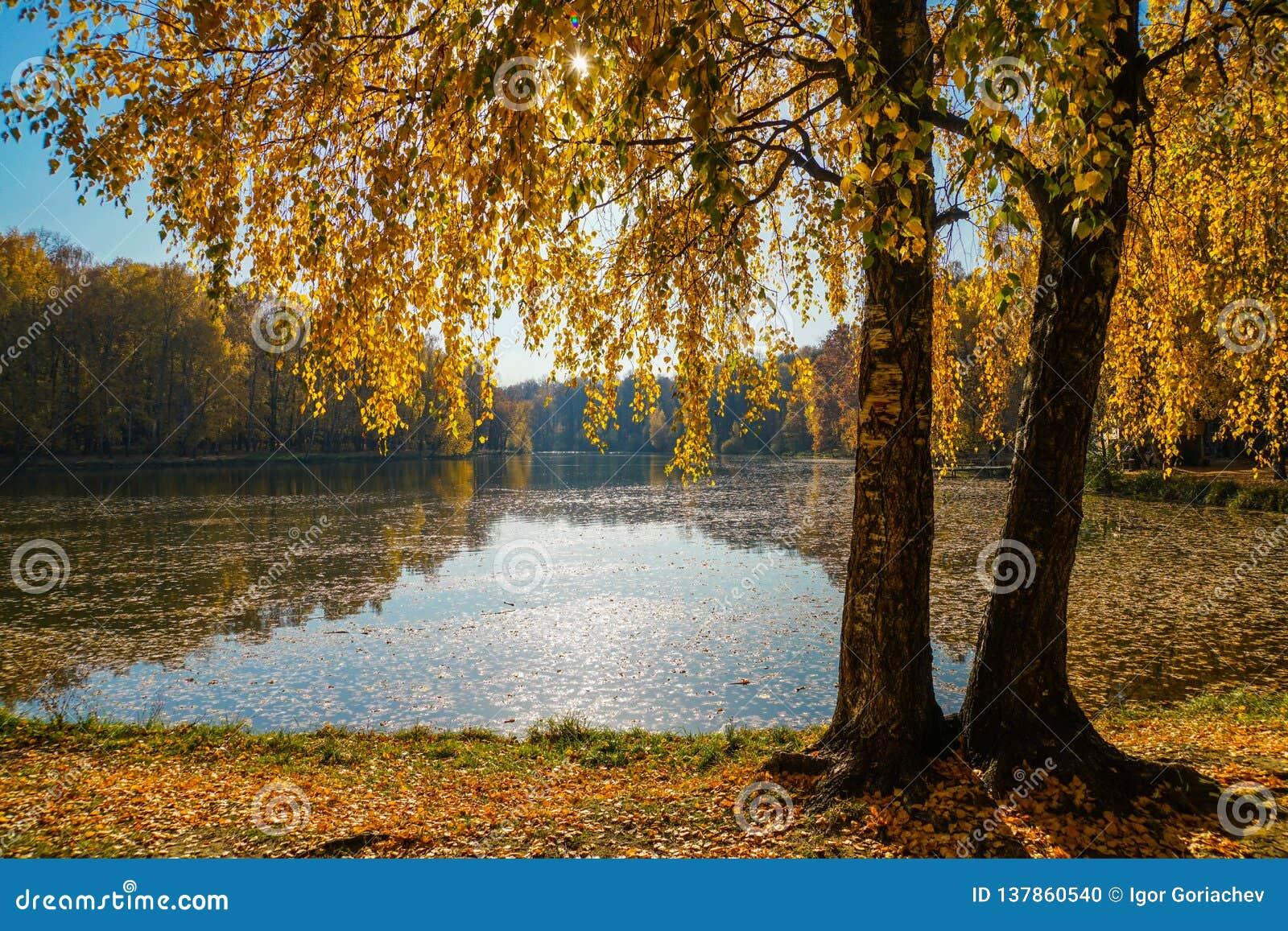 Il fogliame dorato dei giri rapidi delle betulle nell acqua blu dello stagno