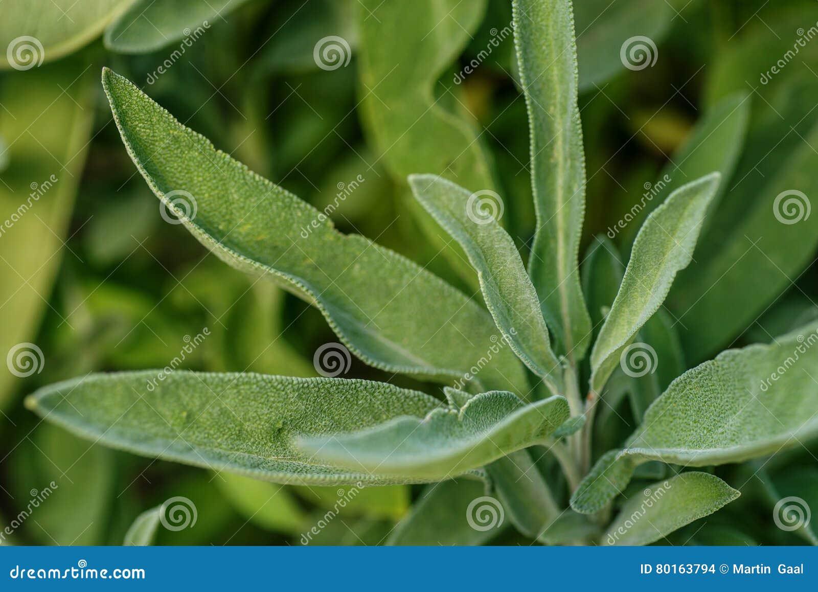 Il Fondo Di Salvia Verde Lascia Nel Giardino Erbe Aromatiche