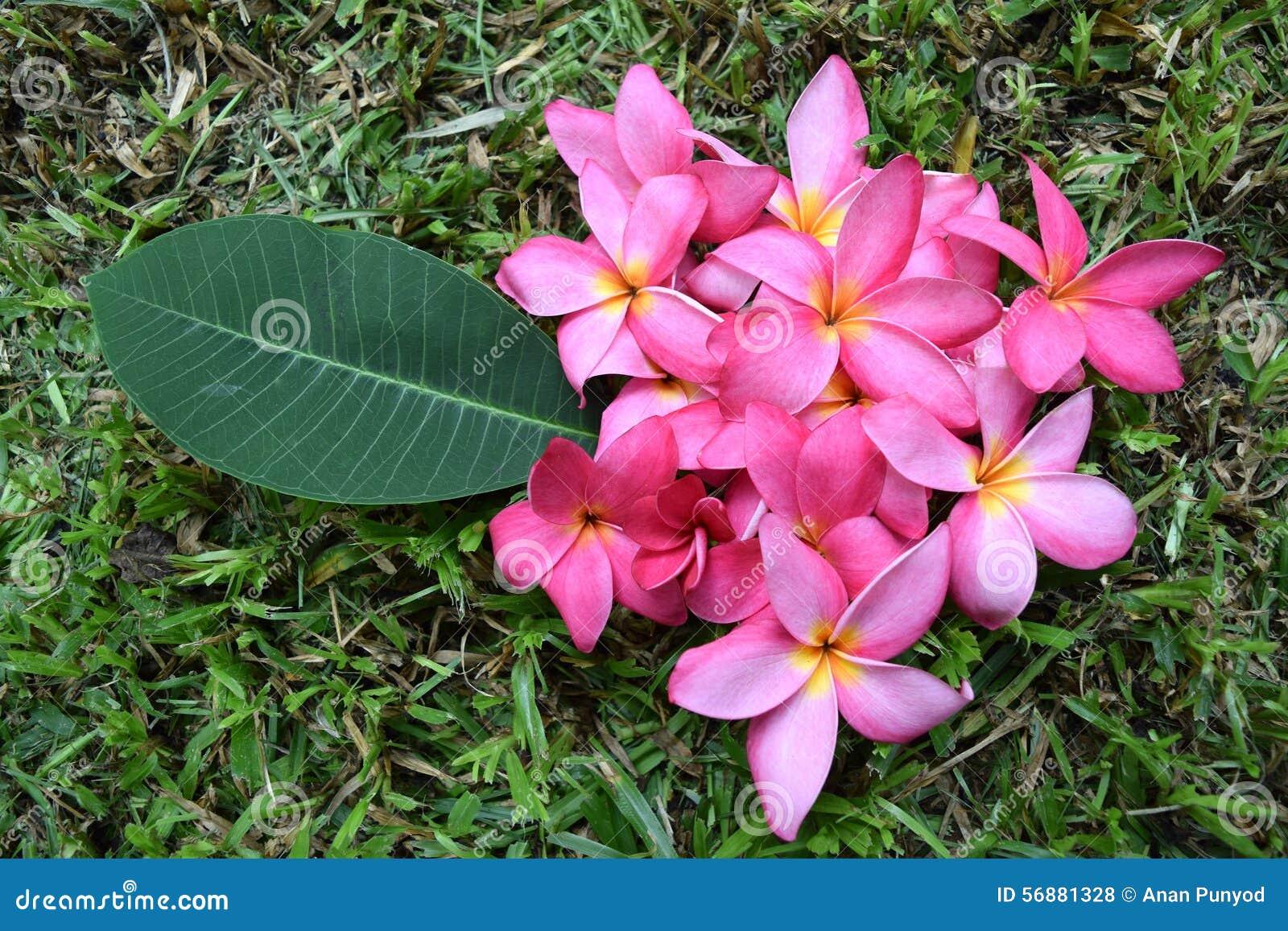 Il frangipane fiorisce (fiore rosa di plumeria)