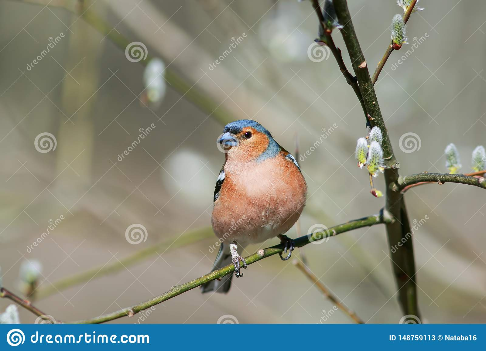Il fringillide migratore ha volato al ramo del salice con i germogli in primavera Sunny Park